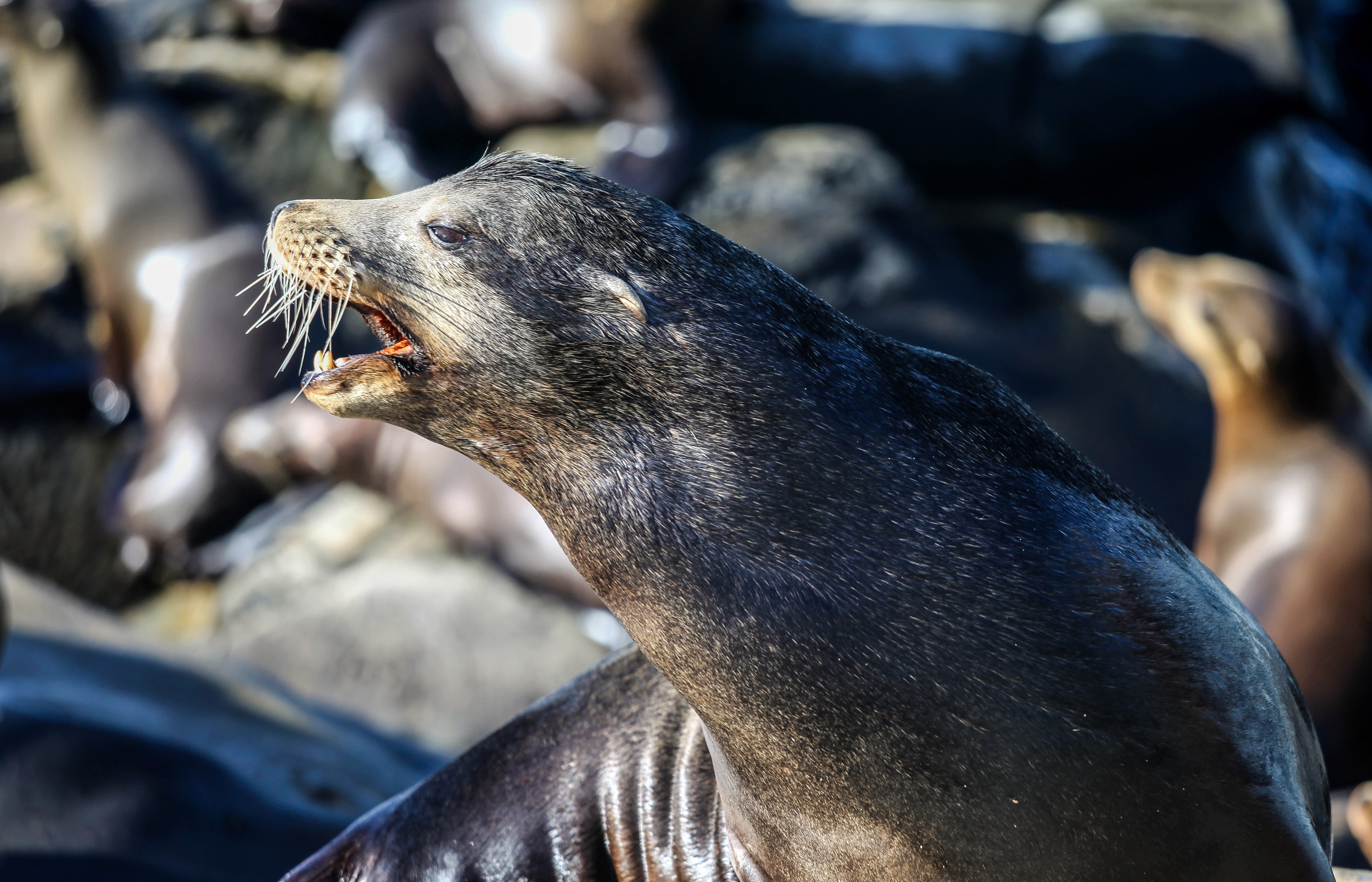 Wet sea lion roaring and showing teeth with more seals in background, La Jolla Cove