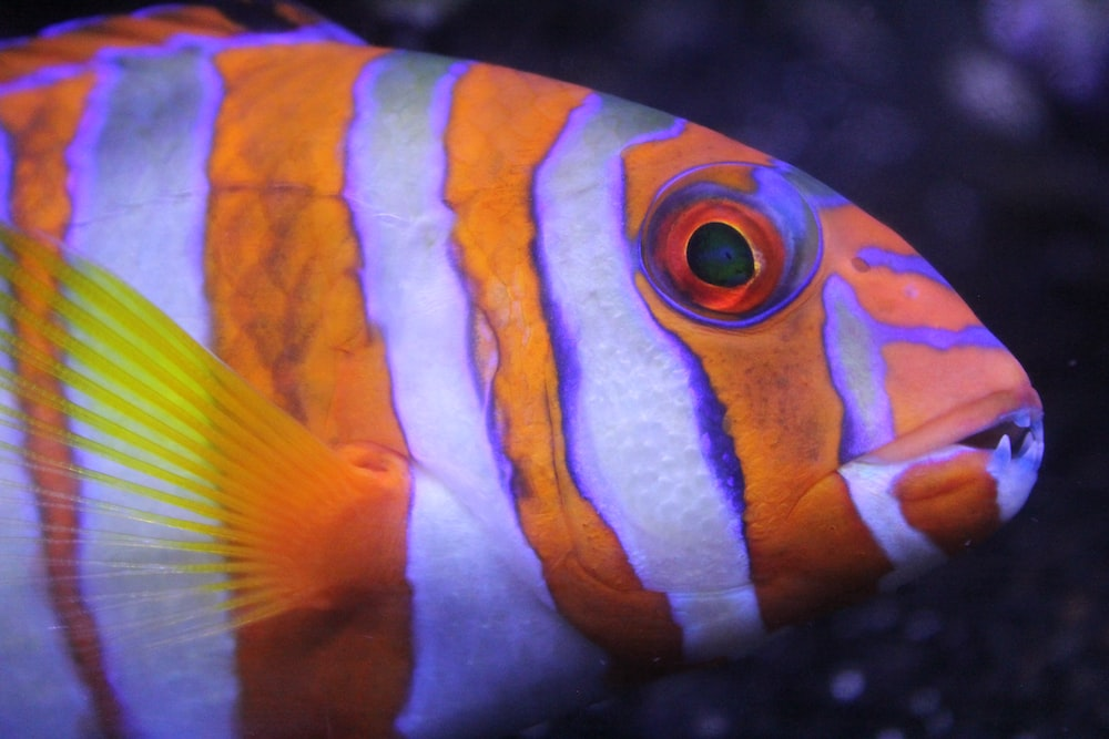 shallow focus photography of orange and white striped fish