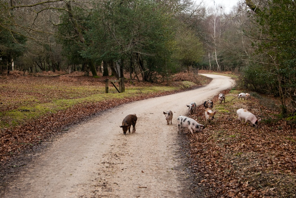 pigs on pathway during daytime