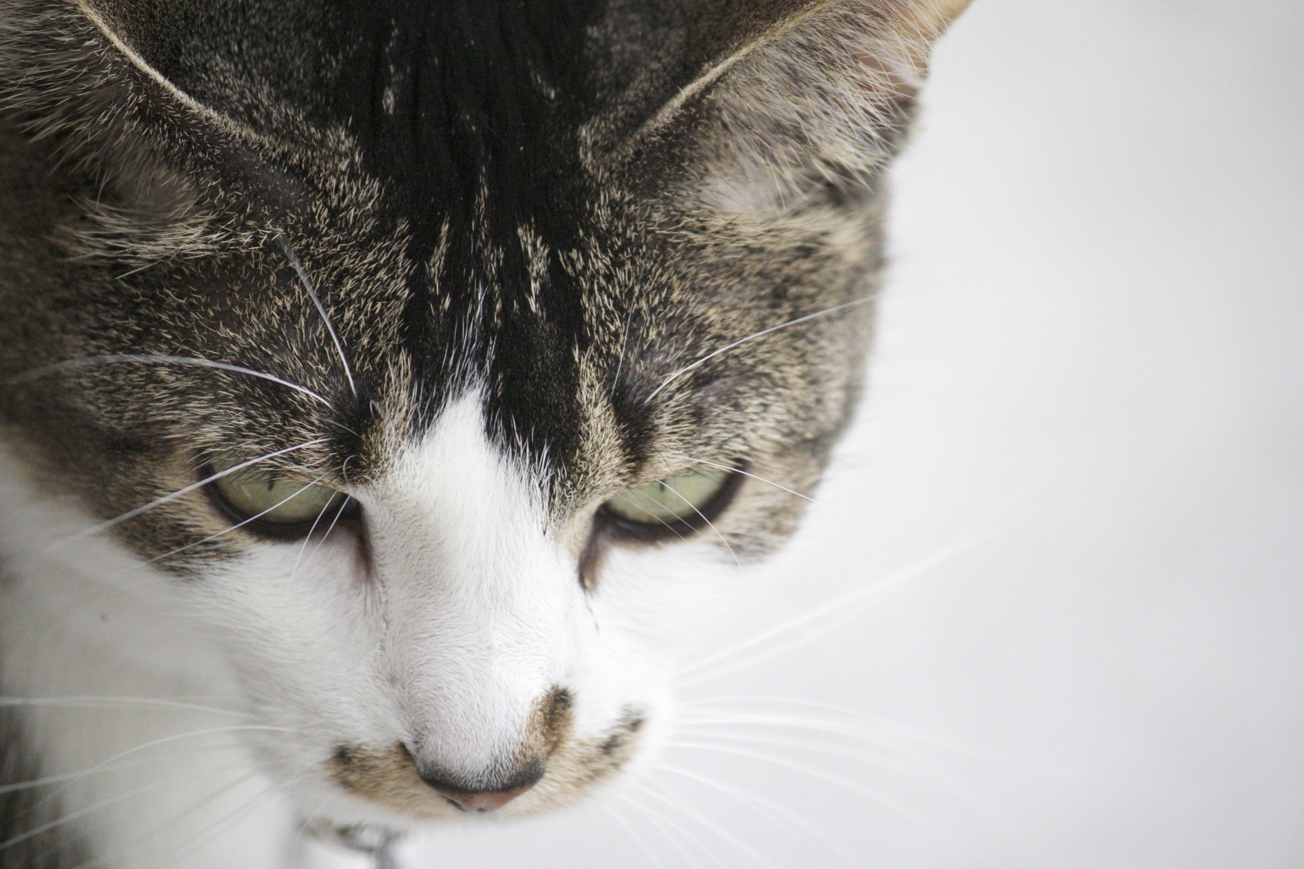 Close up of gray and white domestic cat on light background