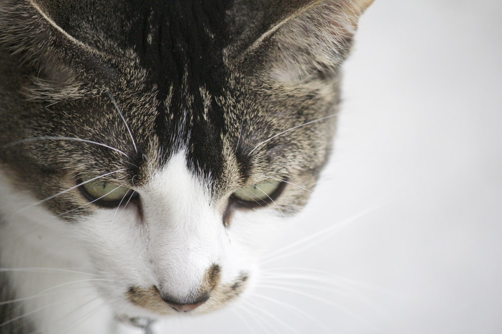 white and brown tabby cat in white background