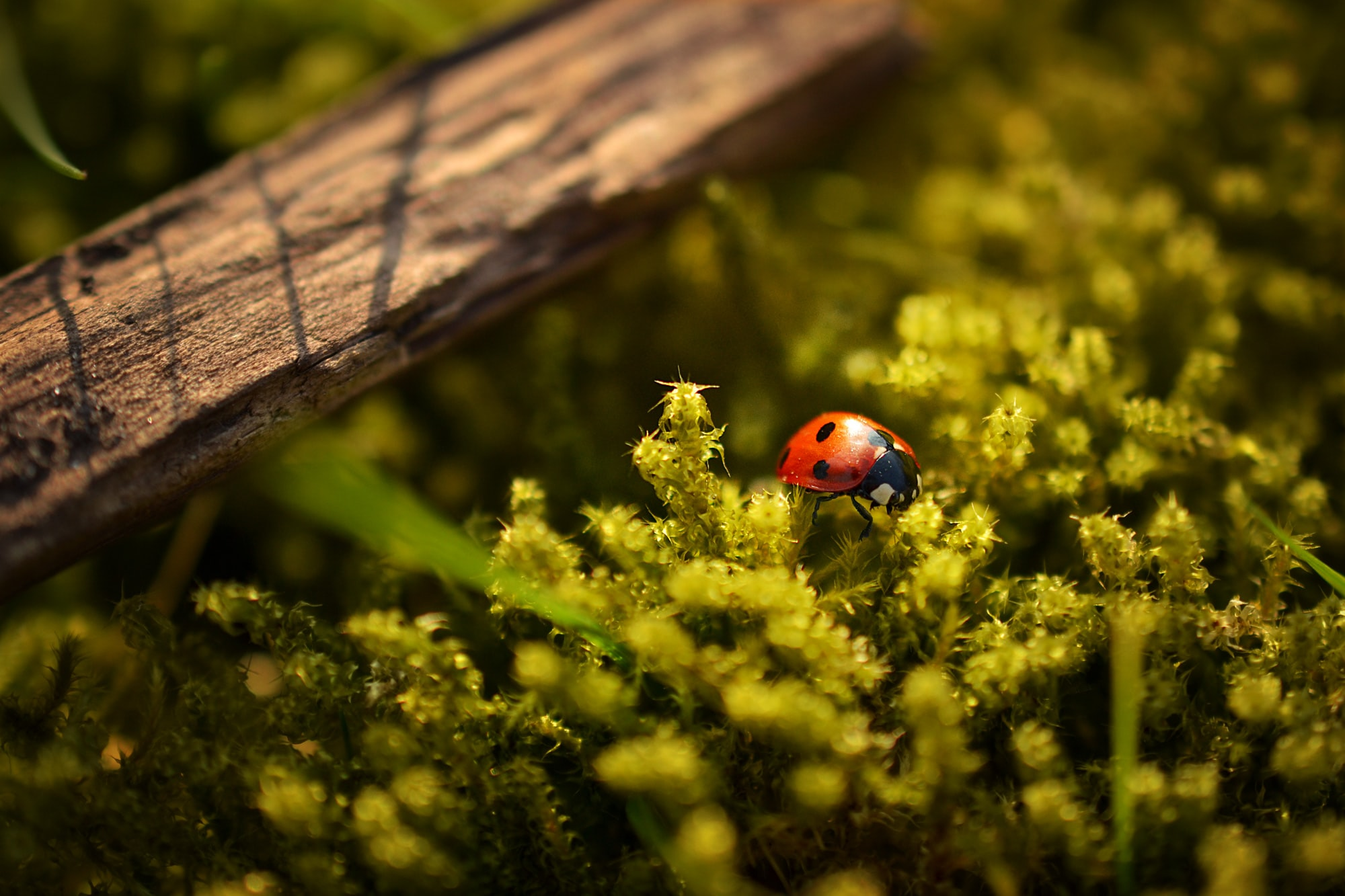 A red ladybird walking on yellow and green plants