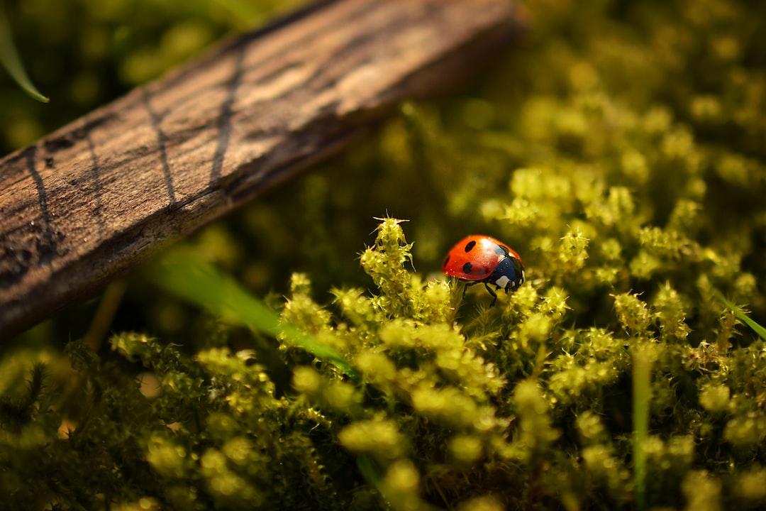 Sunlit ladybird