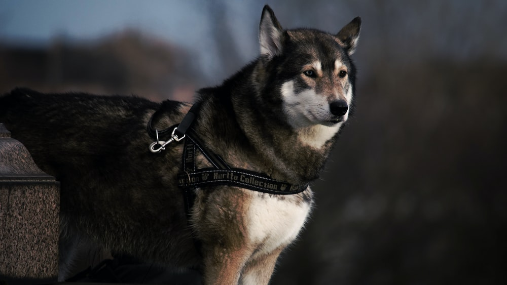 selective focus photography of black and white wolf with black dog leash