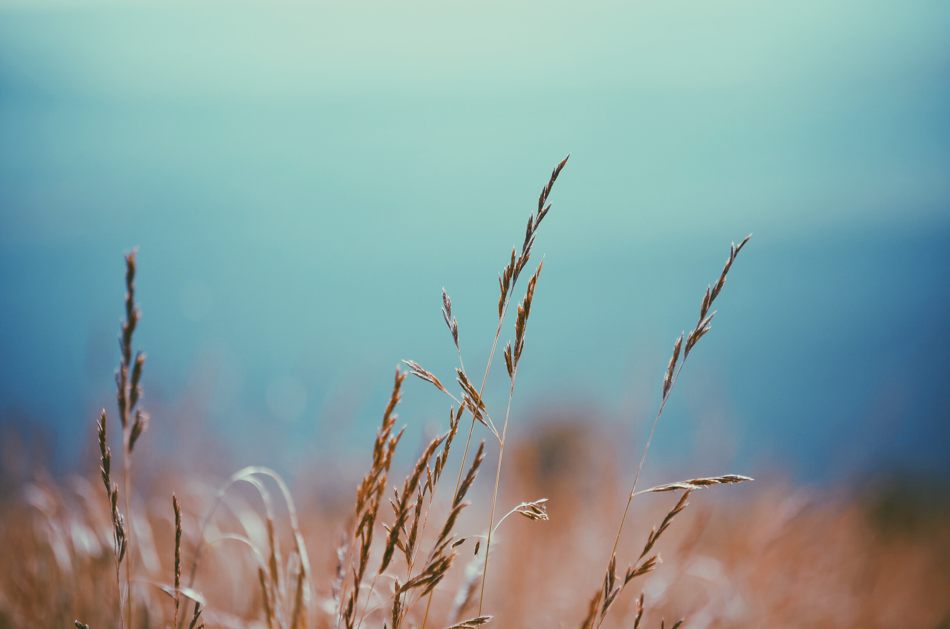 A few blades of a golden grass against a blurry background