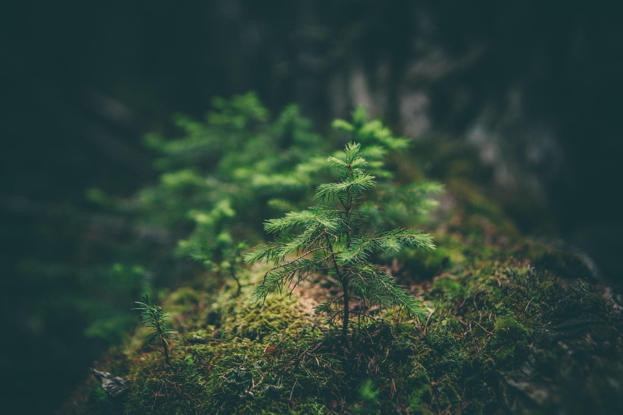 Conifer sapling