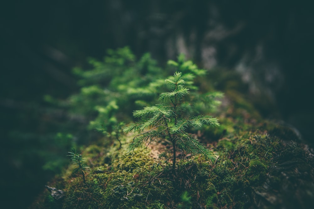 A close-up of a lush green conifer sapling growing on moss
