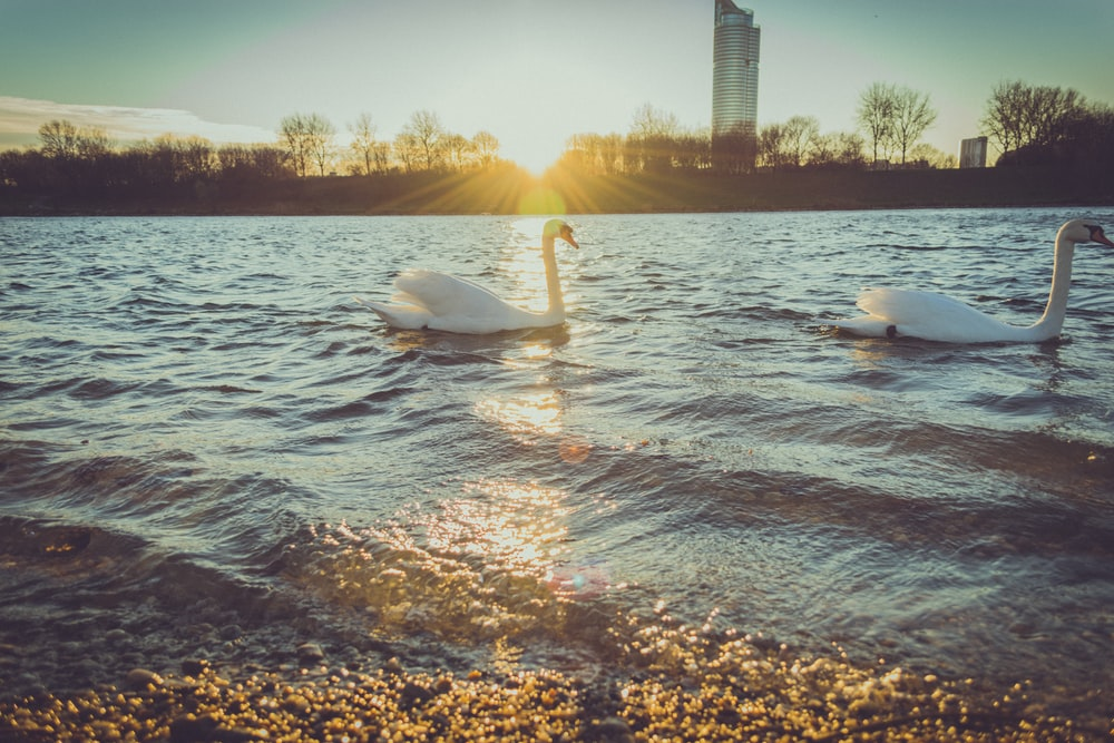 two white swans on body of water during sunset