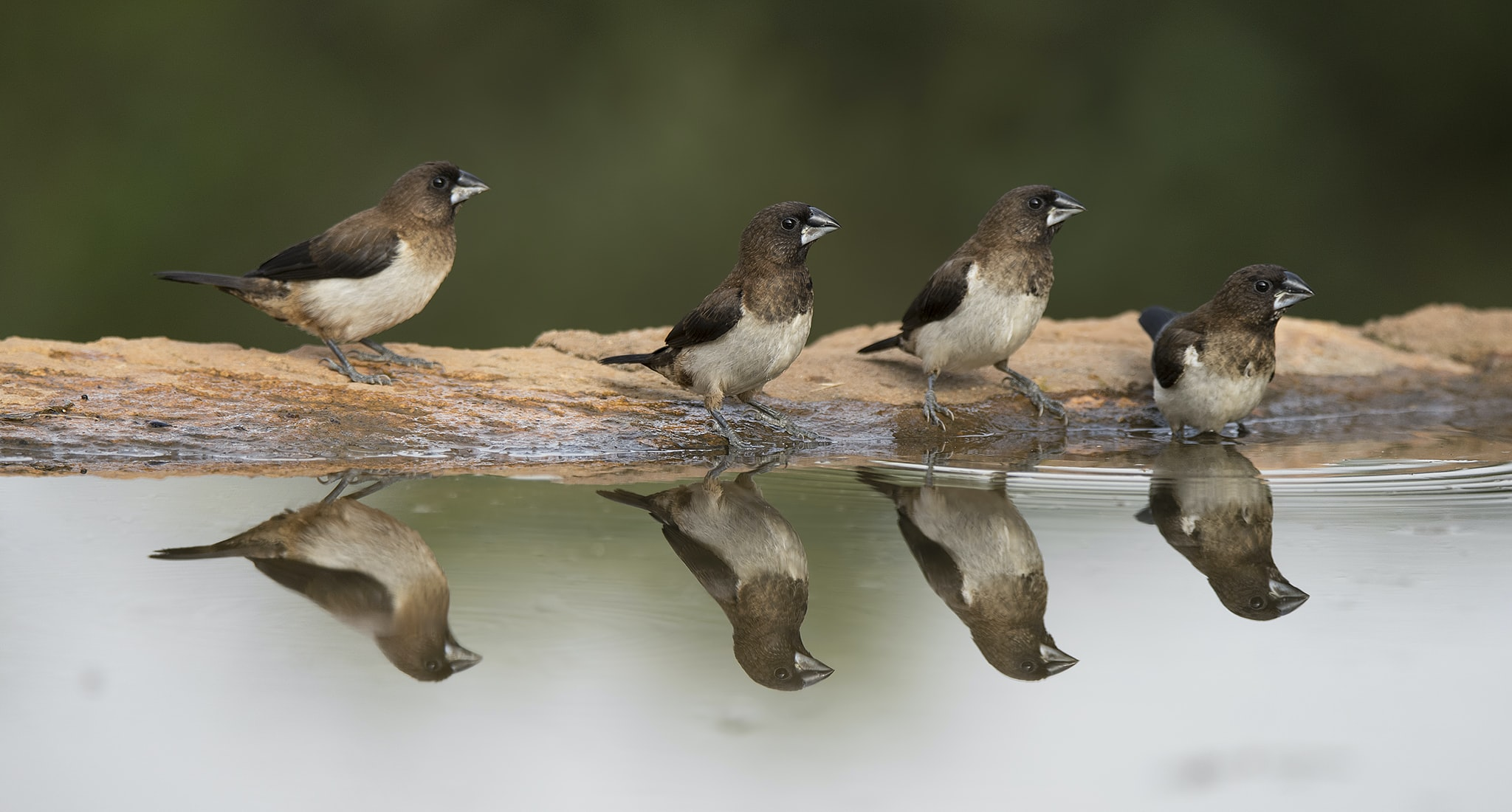 Four sparrows in a row beside a puddle looking on the side sitting on a rock edge