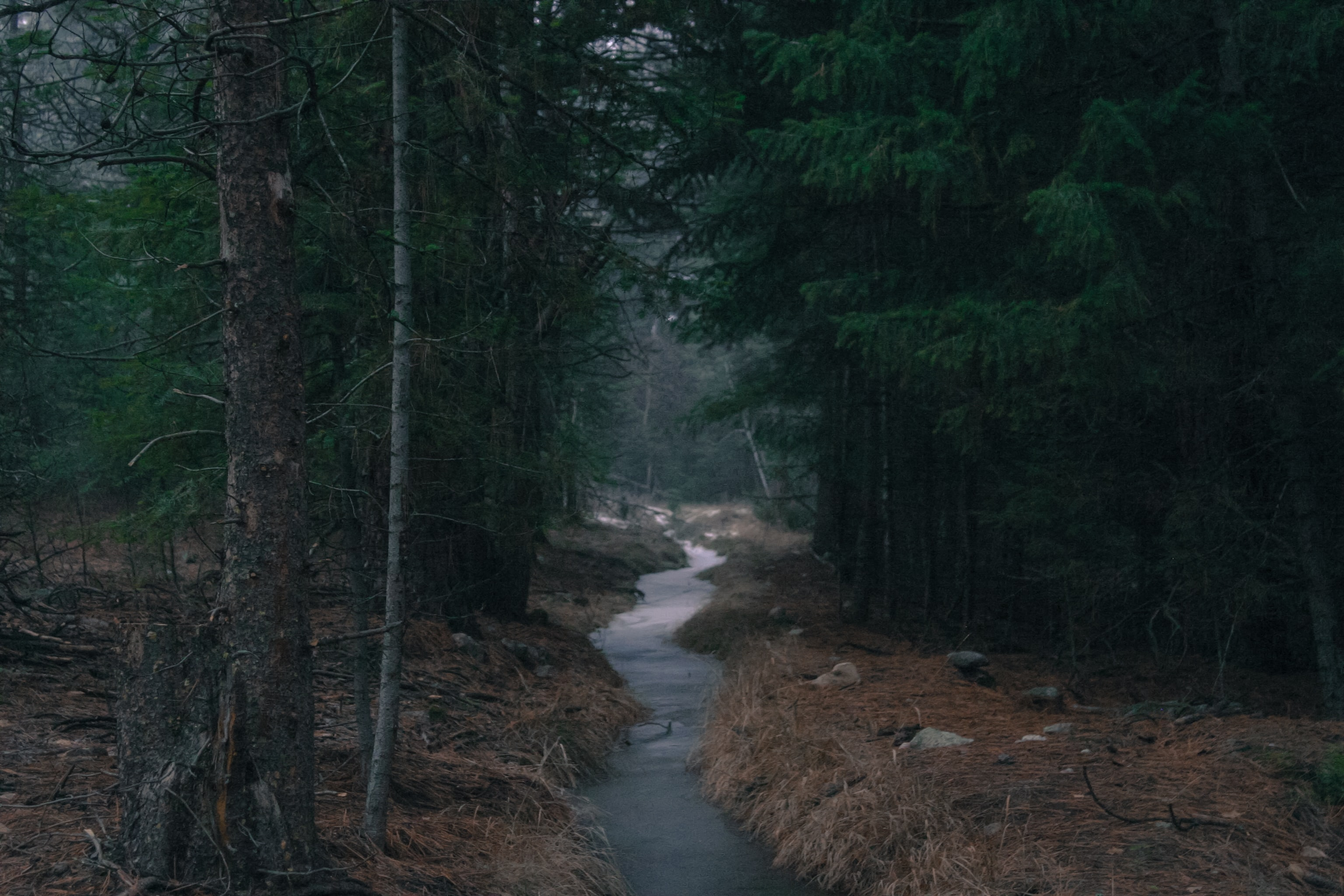 A slow-moving stream flowing through an evergreen forest in the autumn