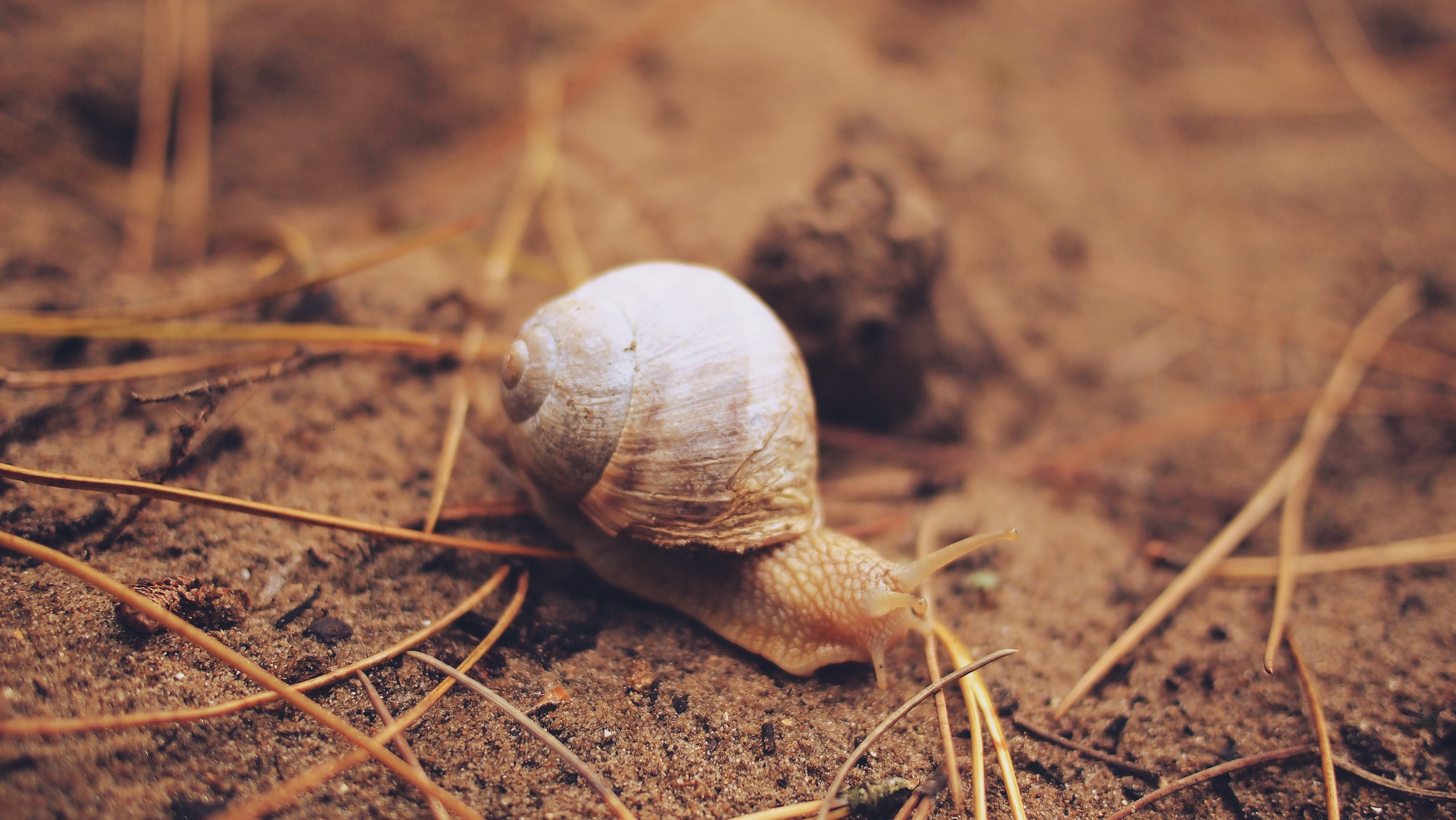 Snail crawling over the ground by some dead grass
