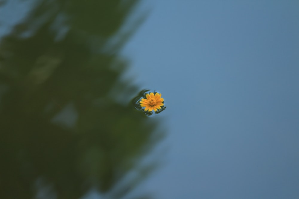 focus photo of yellow daisy flower on body of water