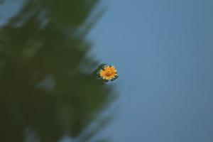 decorative image of yellow daisy flower on body of water