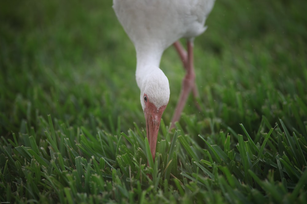 close-up photography of white duck perching on green grass during dayrime