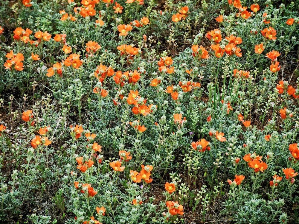 orange flowers lot