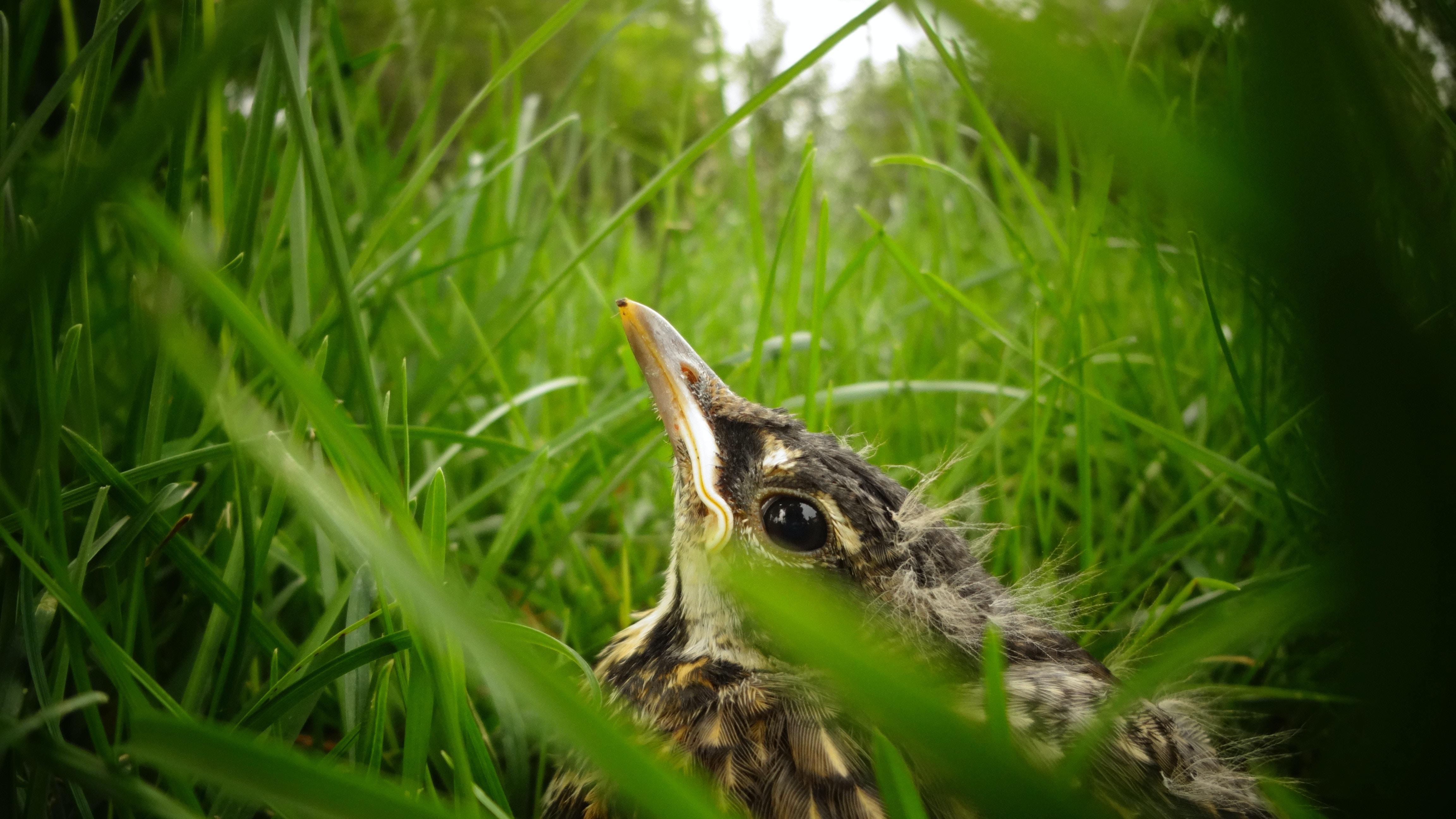 closeup photography of gray bird on green grass at daytime