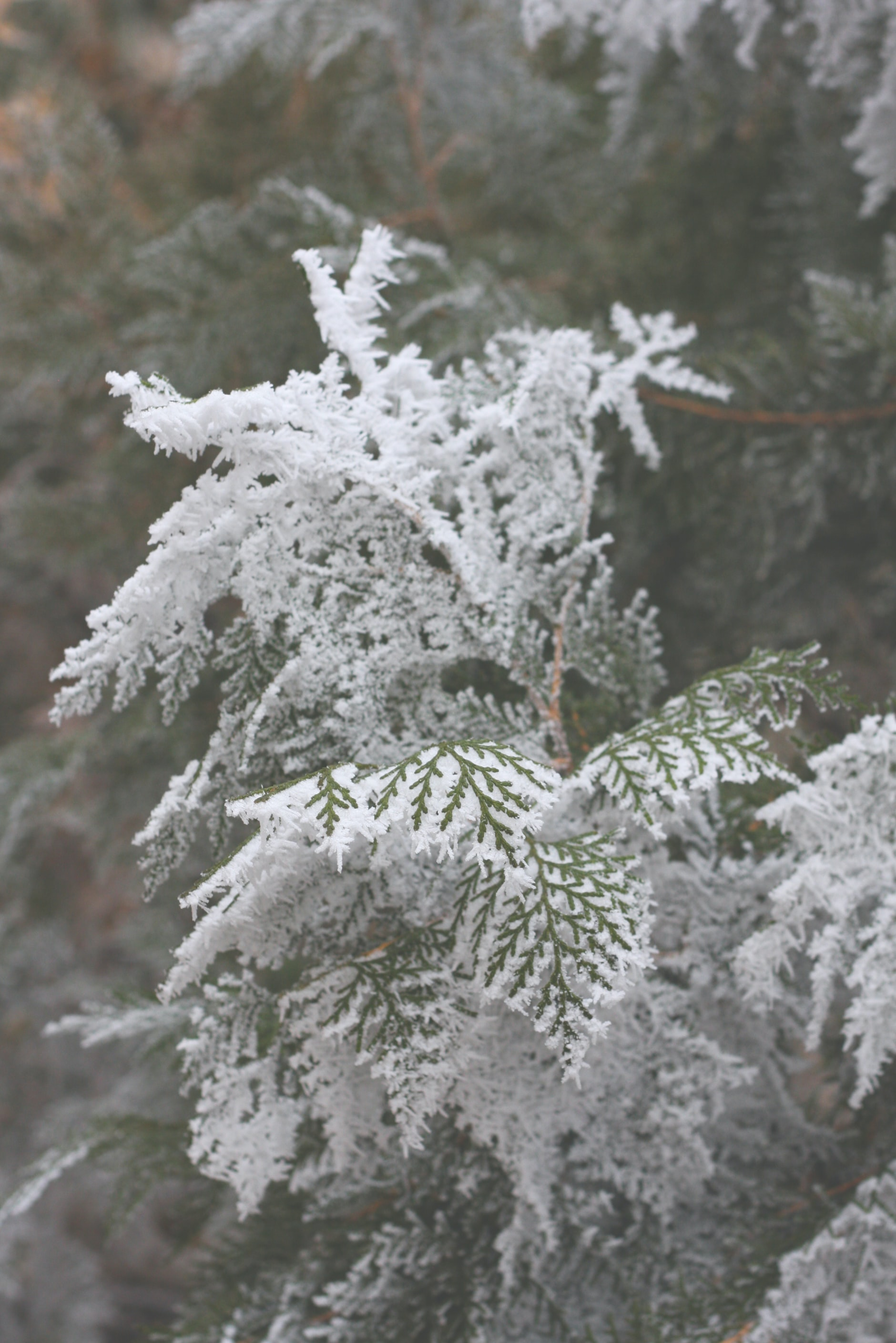 Close up of a snow covered fir leaf