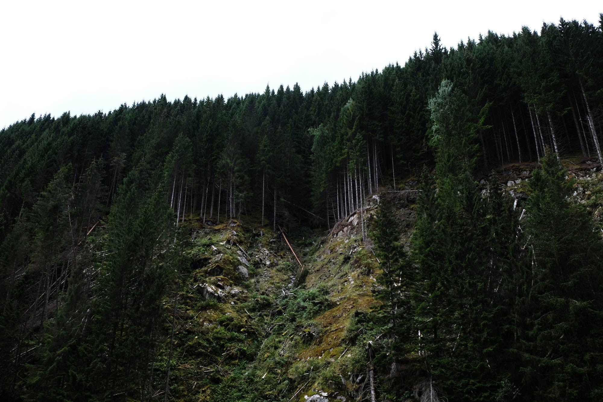 A coniferous forest on a rocky hill