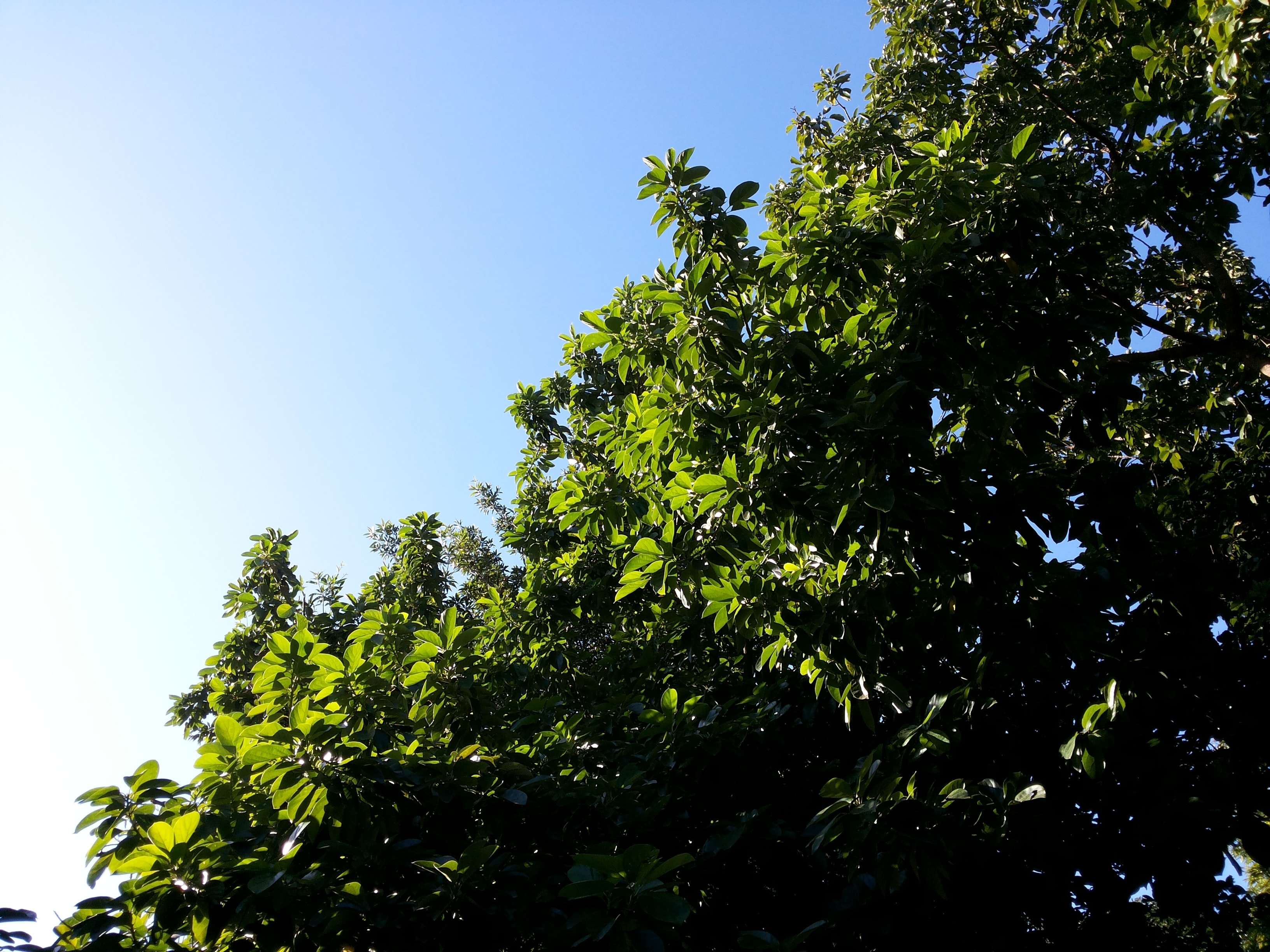 A low-angle shot of the top branches of a green leafy tree against a blue sky