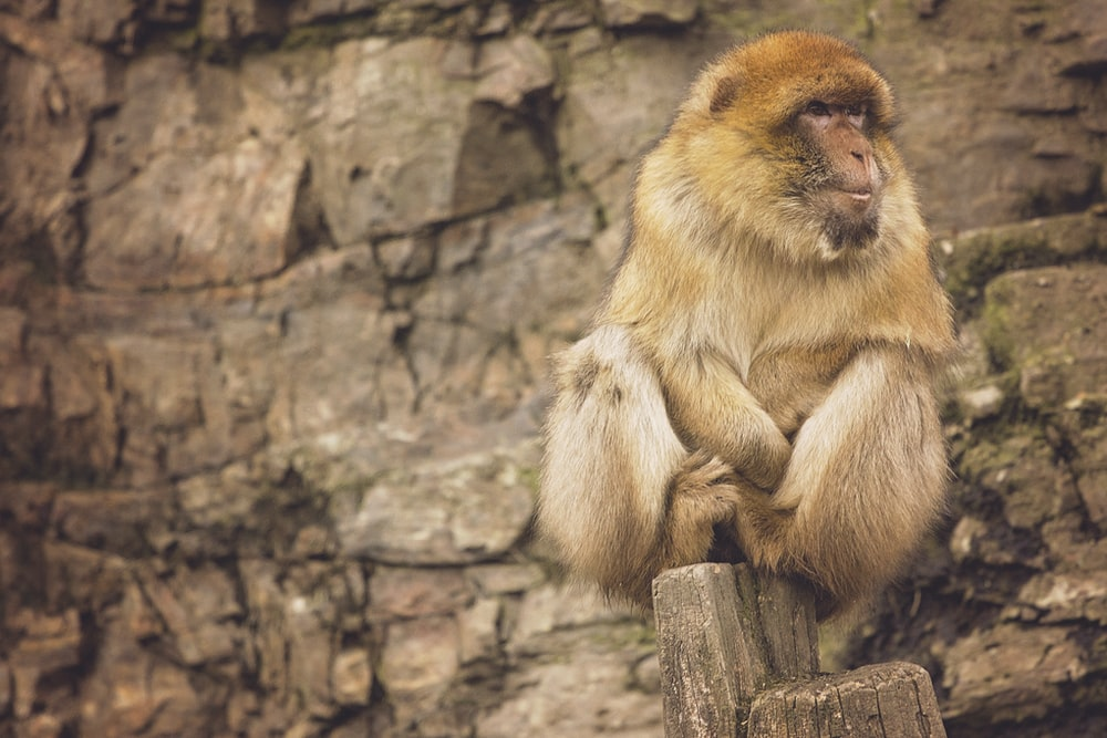 brown baboon sitting on rock formation at daytime