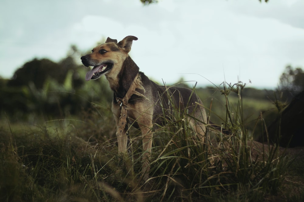 selective focus photo of tan dog on grasses during daytime