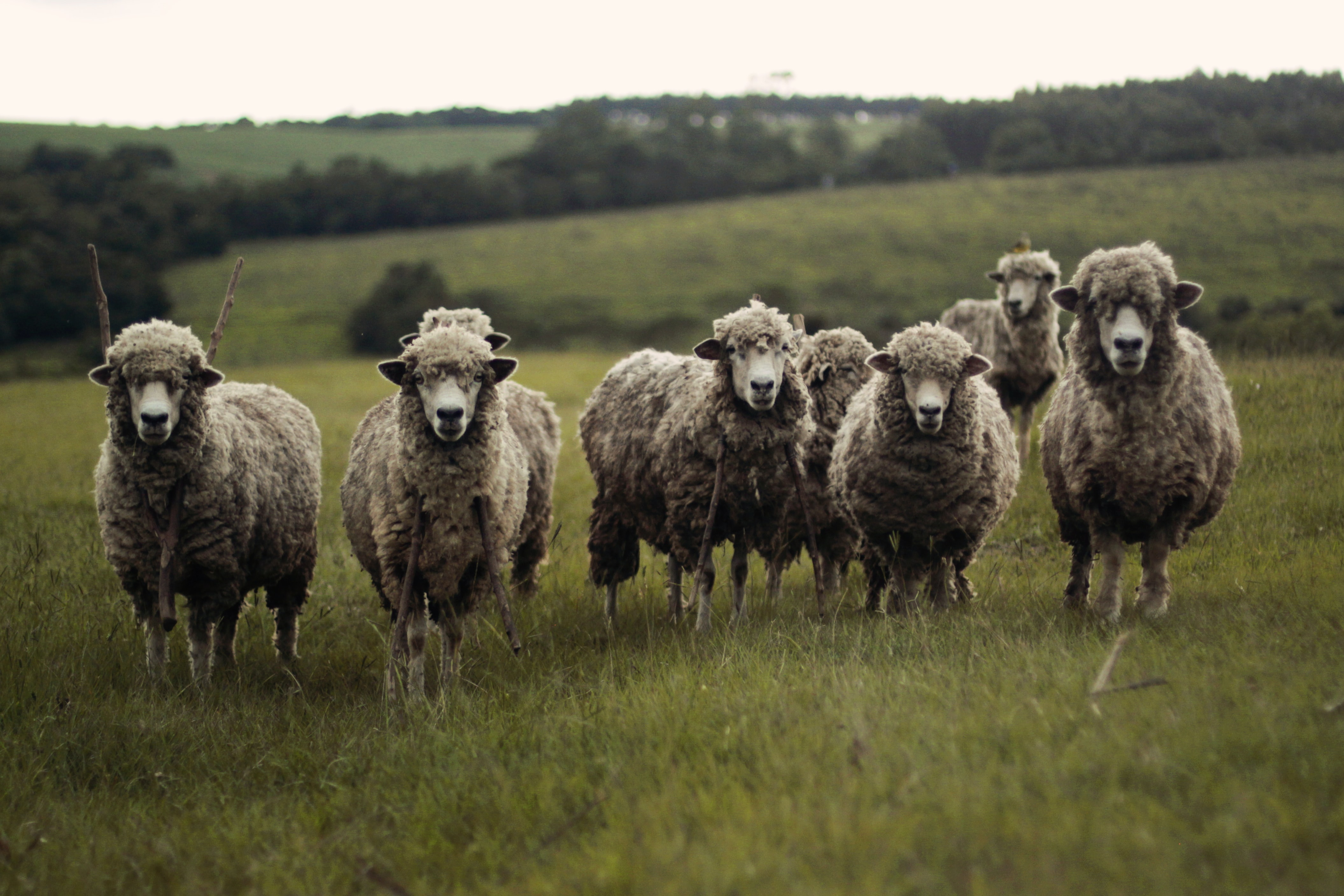 Sheep standing in a grassy field