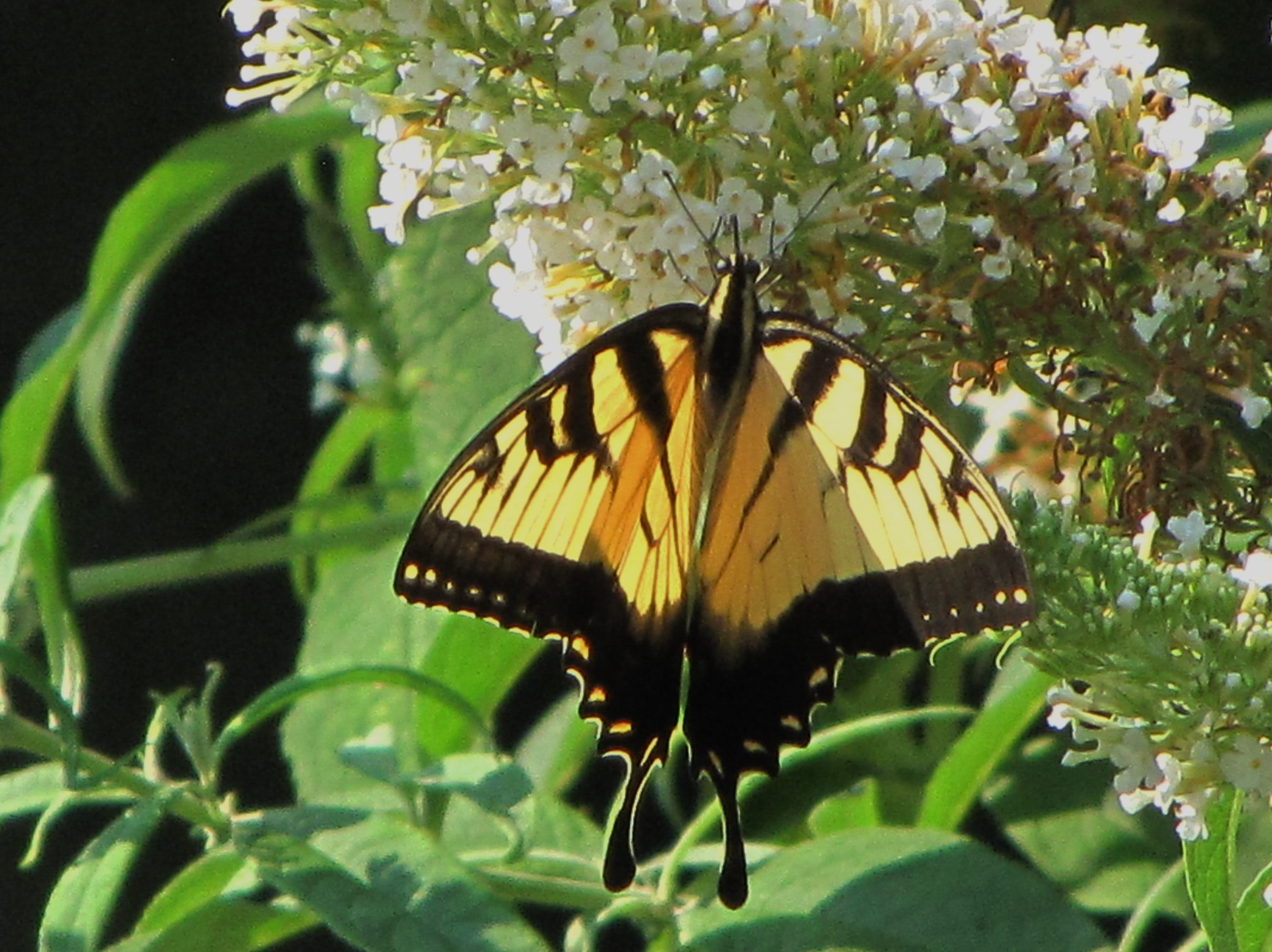 A large yellow and black butterfly on white flowers.