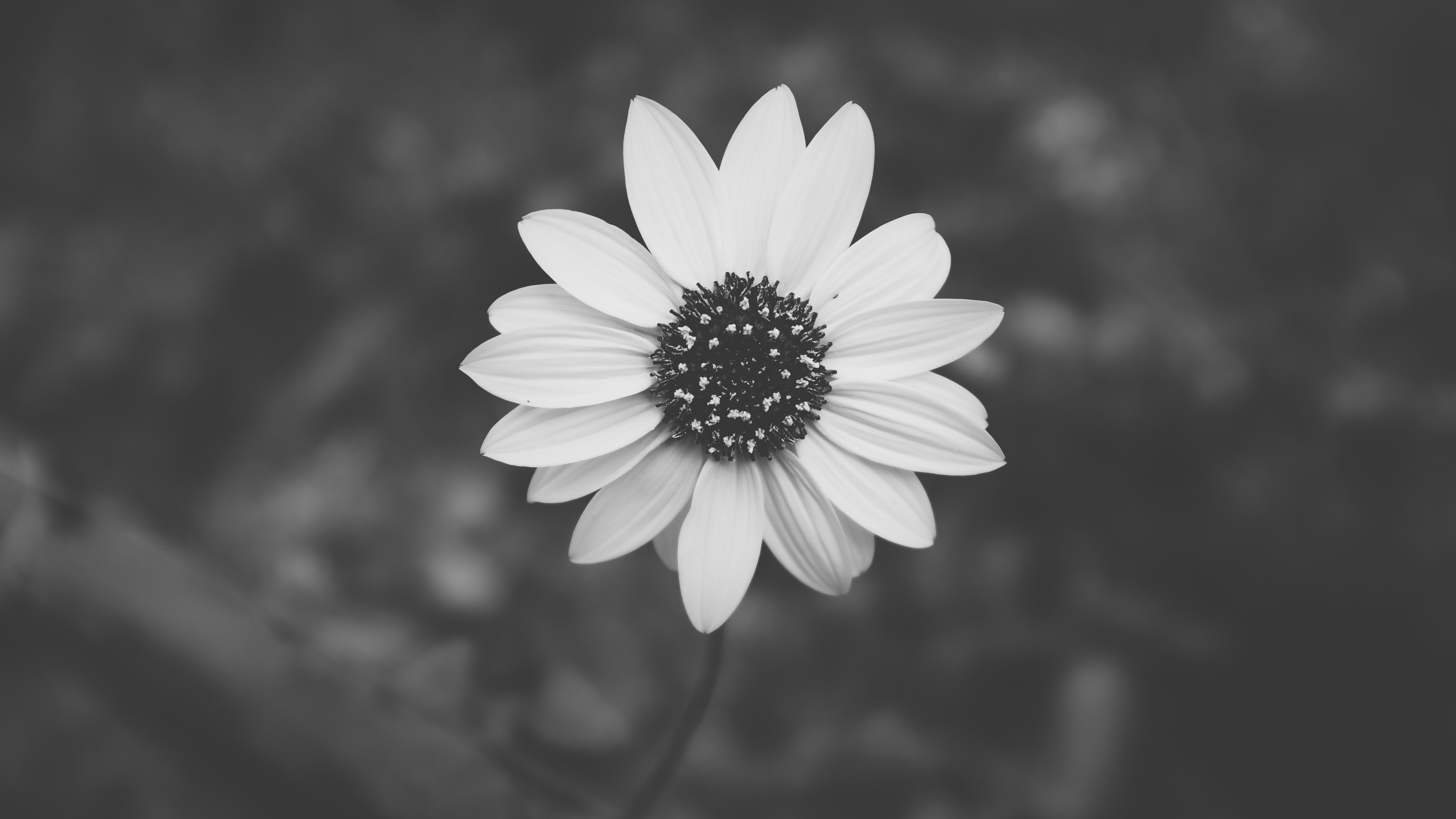 grayscale photography of flower
