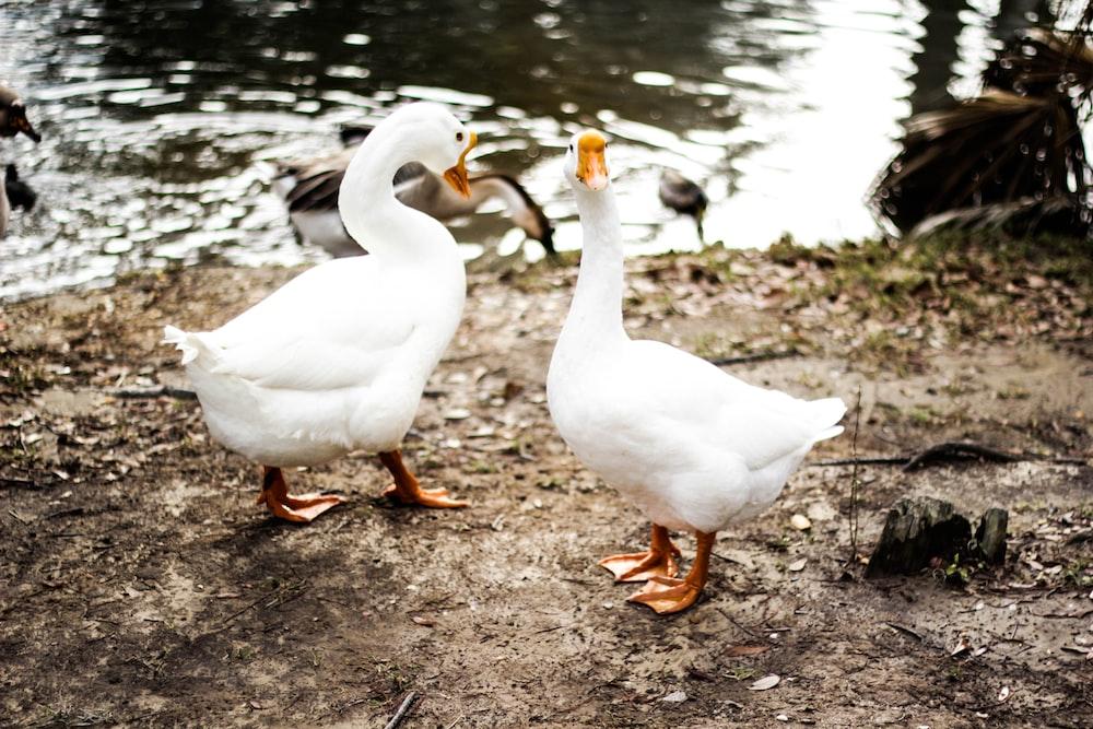 two white ducks on brown soil