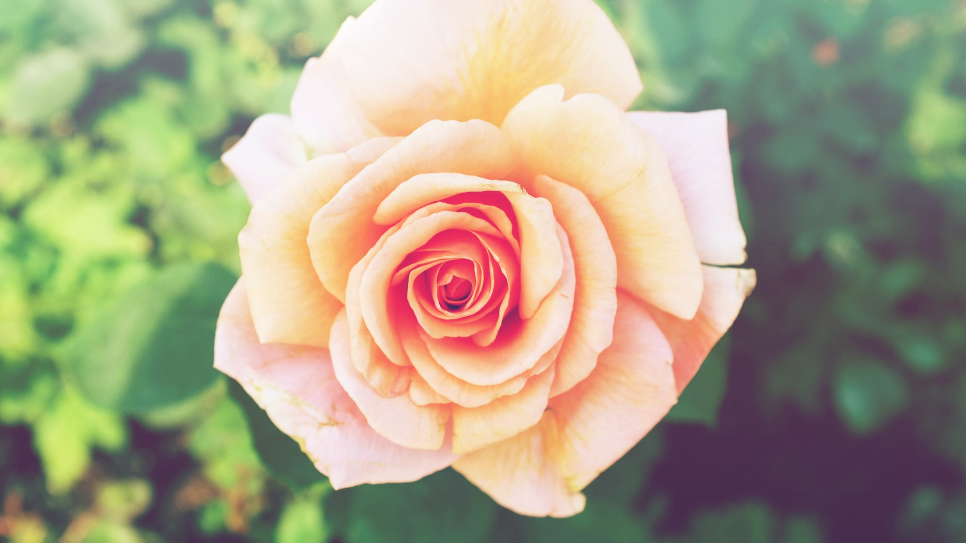 A light pink rose in full bloom