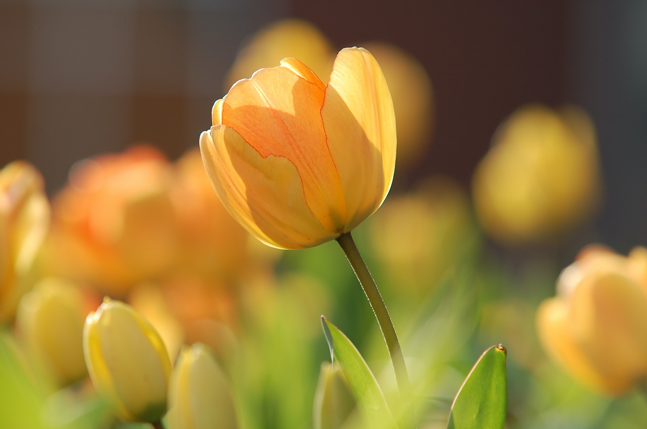 Yellow tulips leaning towards the sun and slowly opening their petals