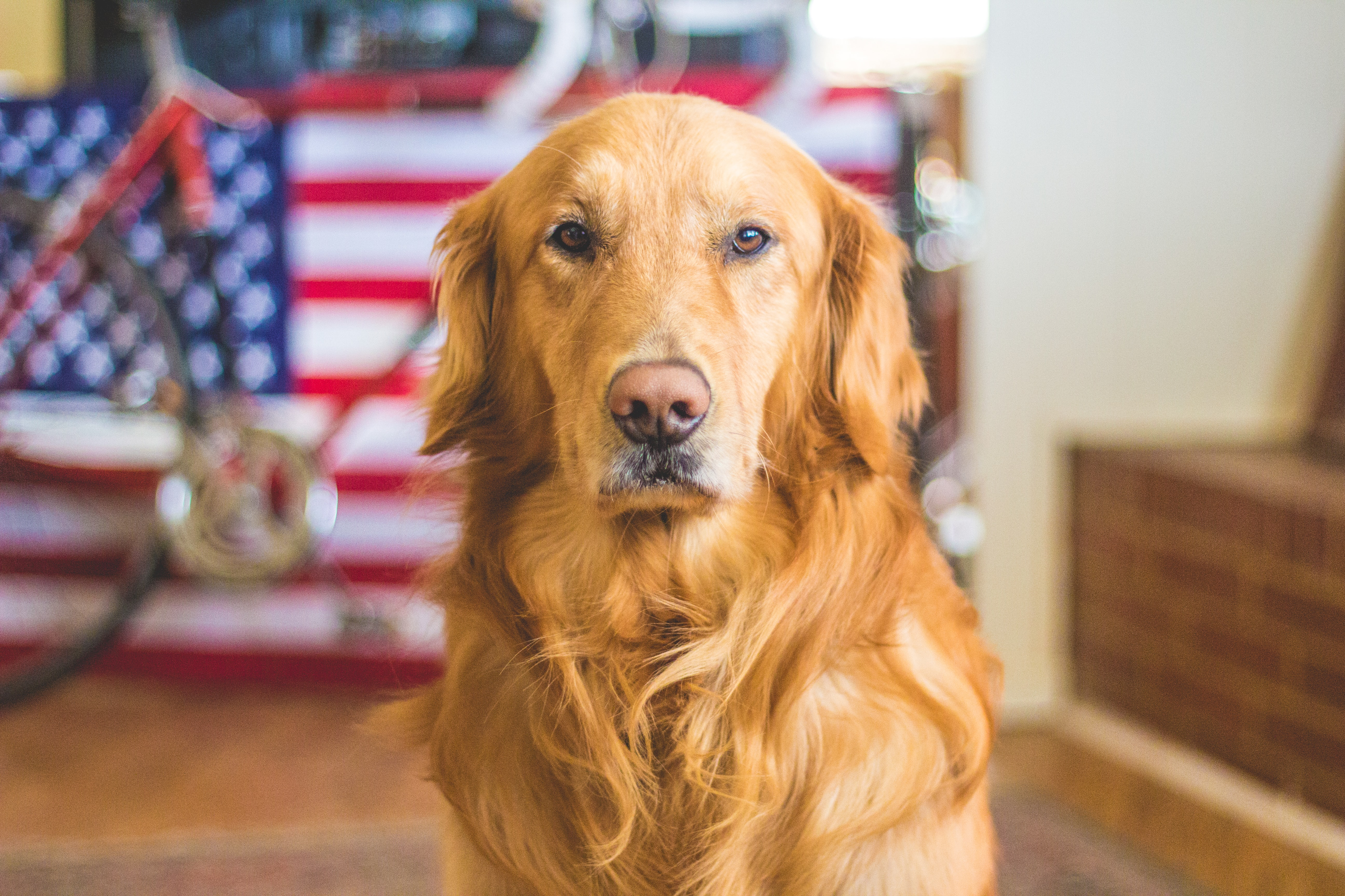 A golden retreiver dog with an American flag and bicycle behind him