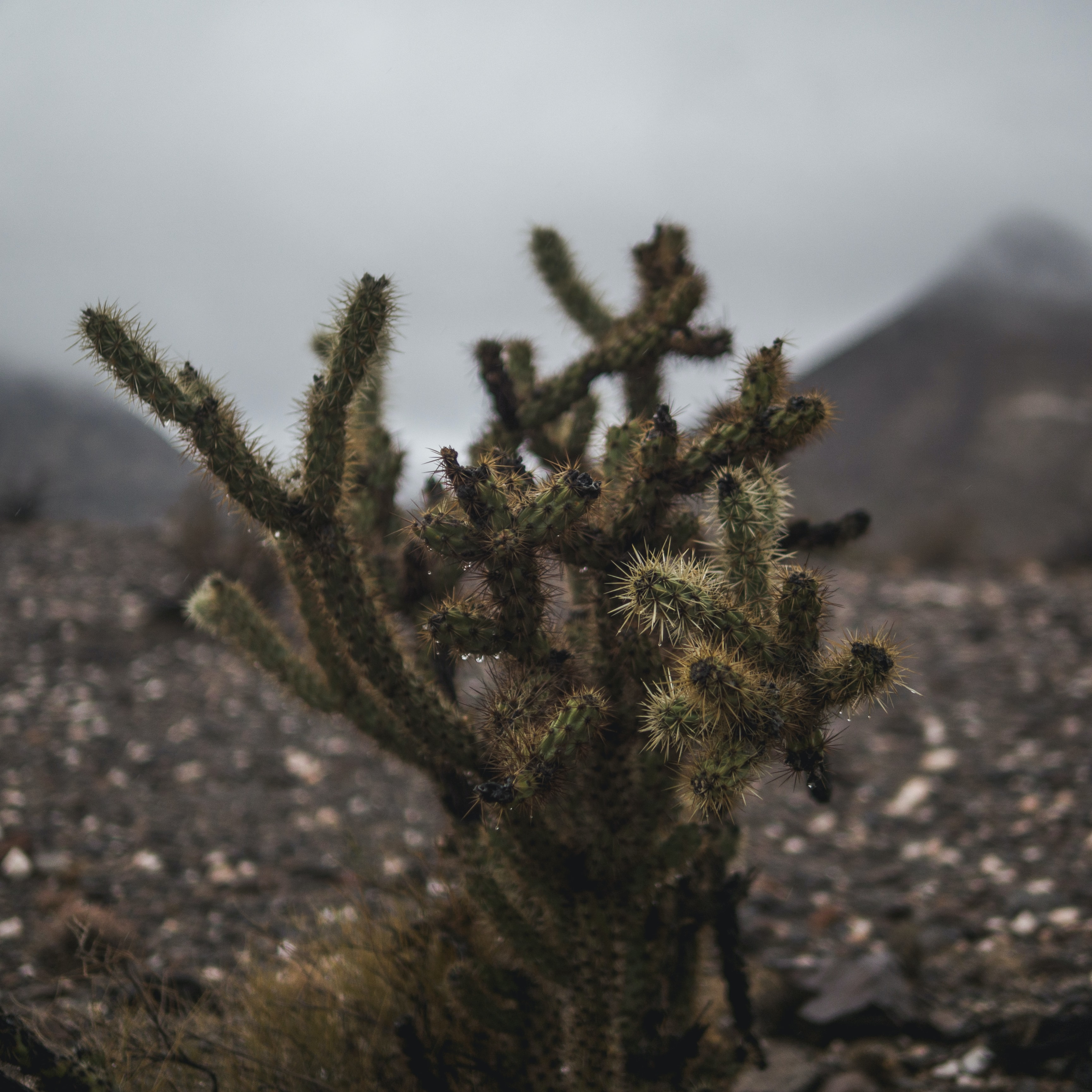 A lone green and brown cactus with water droplets hanging from its needles