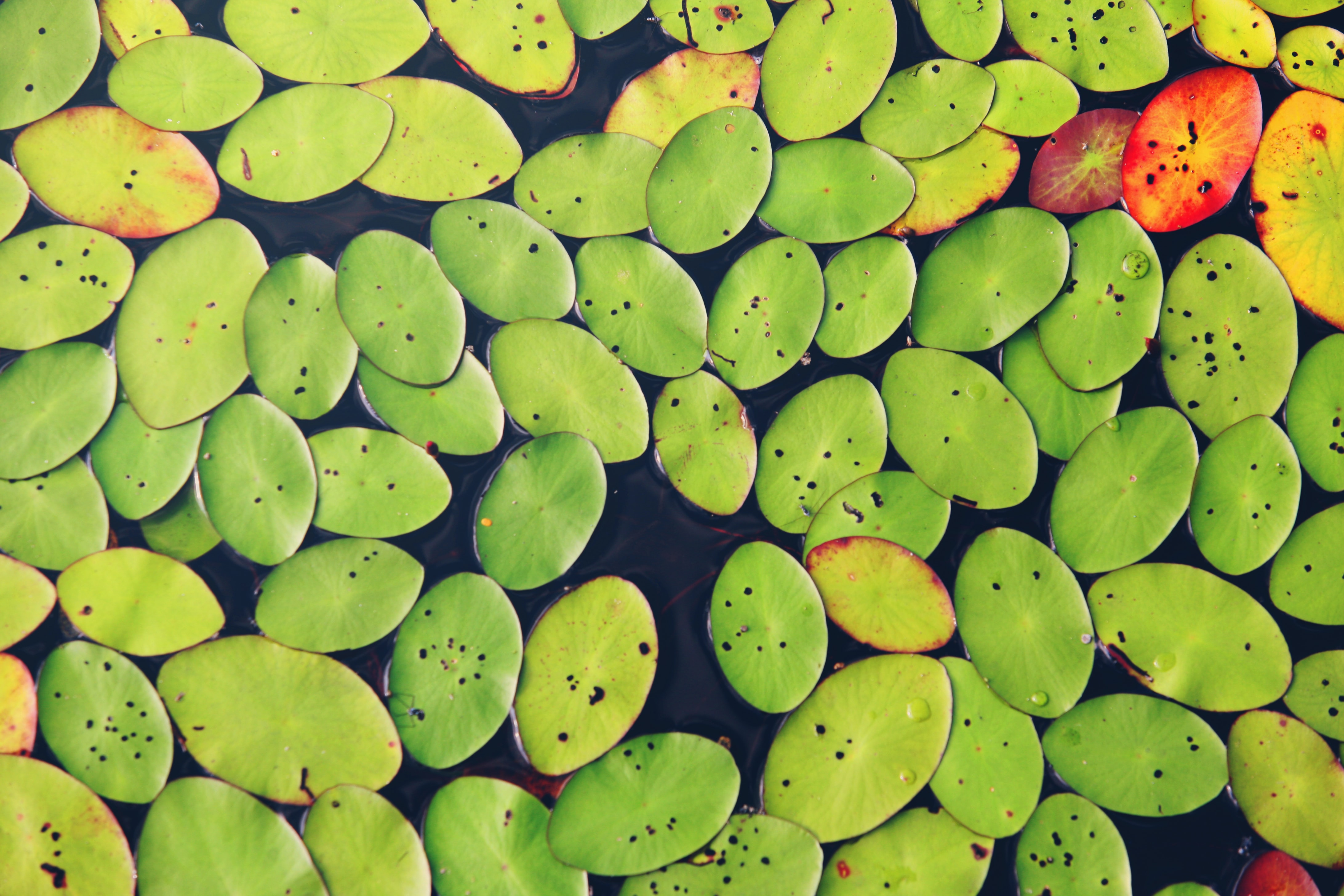 A top view of a cluster of green and yellow lily pads on the surface of water