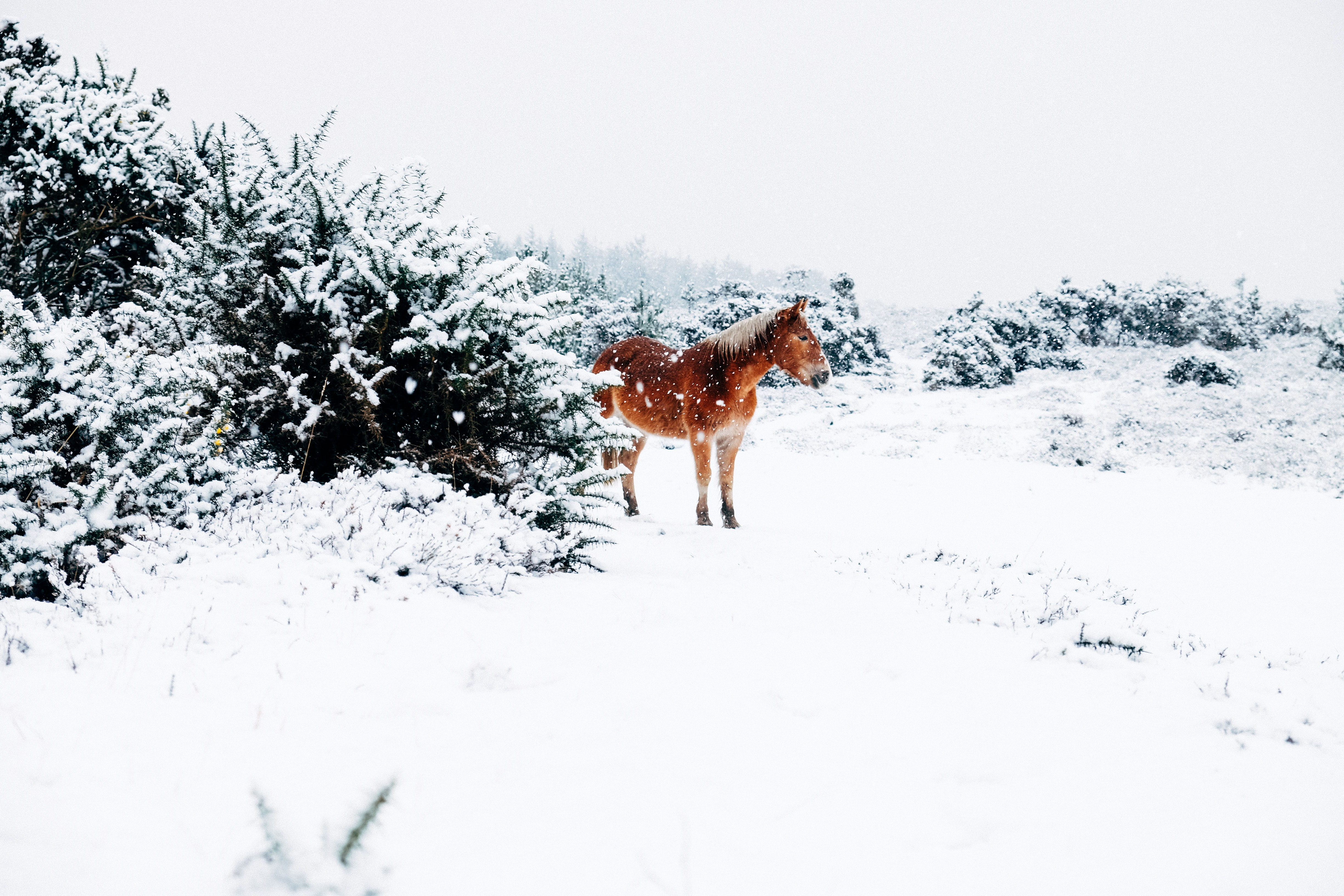 A chestnut horse stands near snow-topped bushes as snow falls on the ground