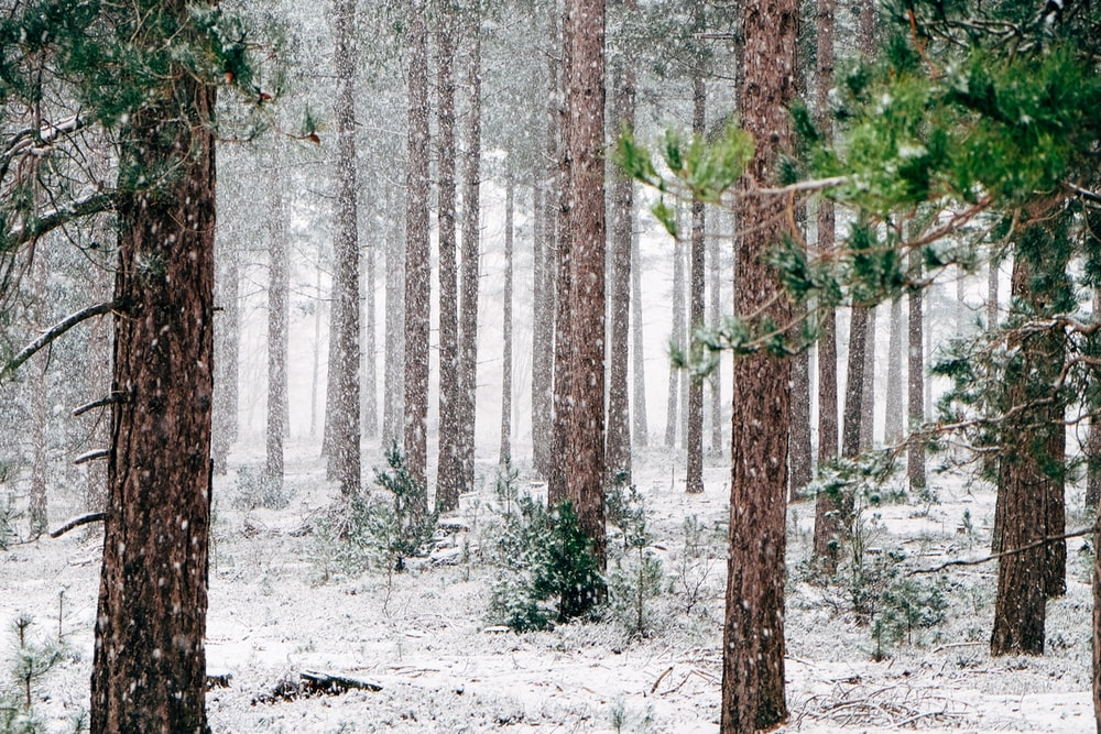 tall pine trees covered with snow during winter