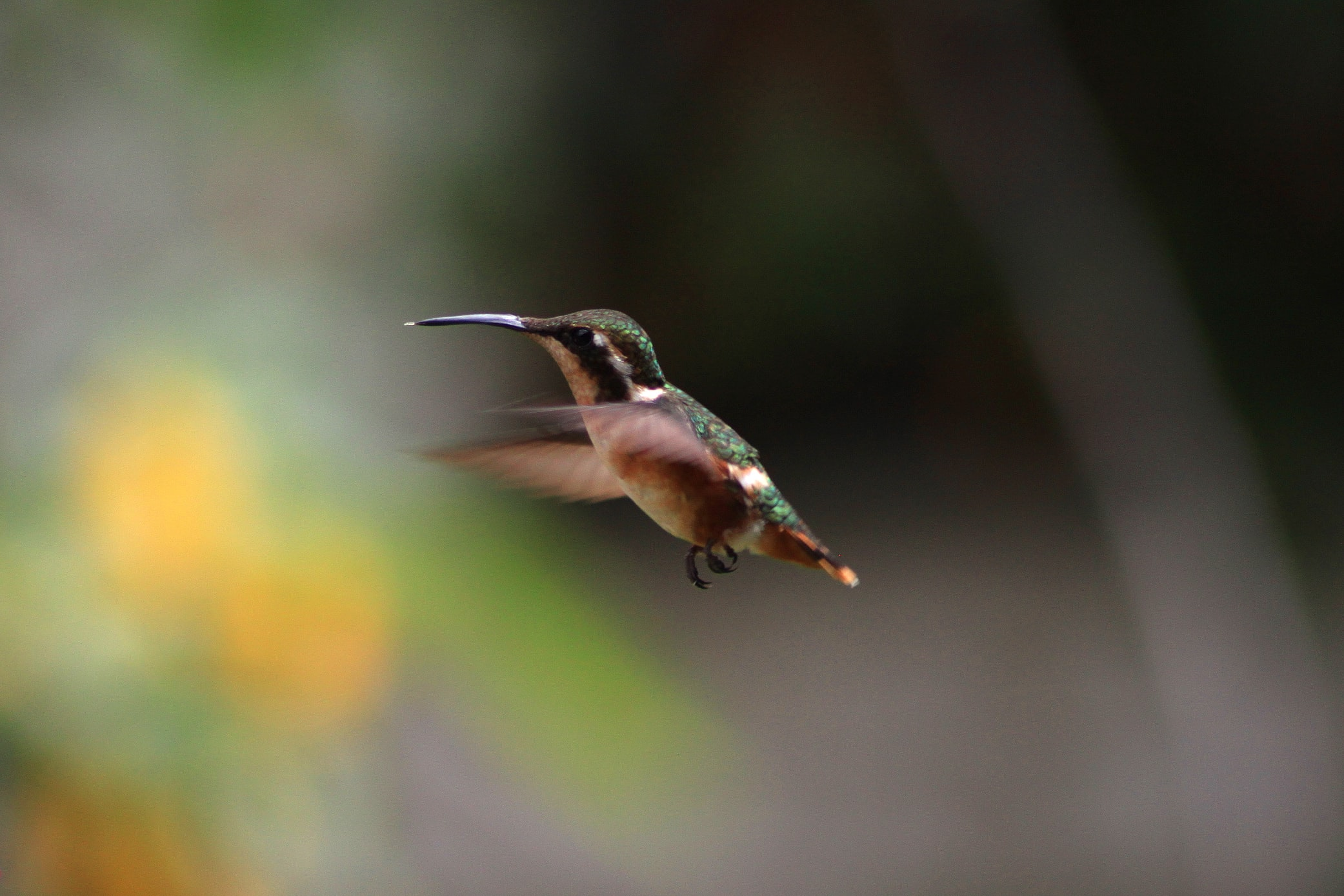 Green hummingbird flying mid-air in the wild