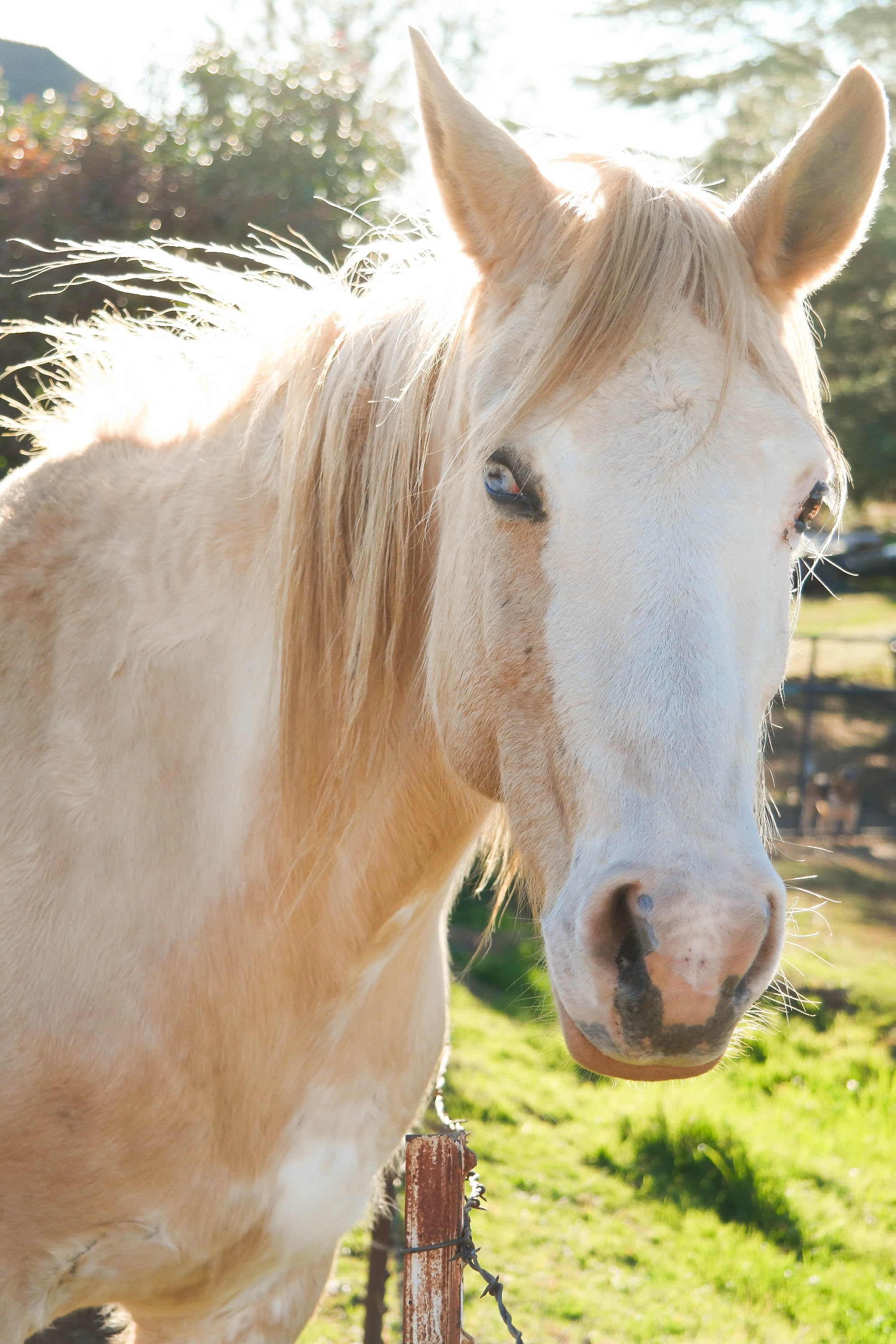 A palomino horse with white marking on its head on a sunny day
