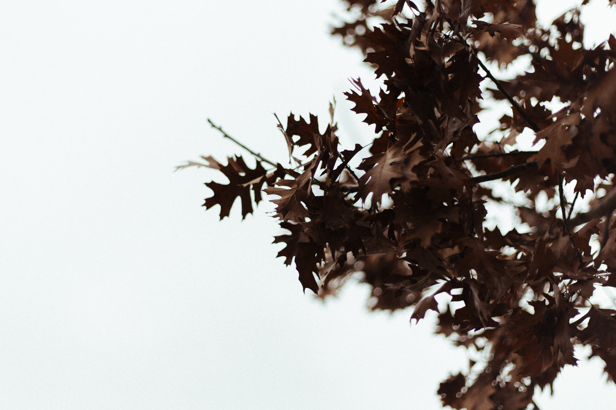Dark brown oak leaves on branches against a white background