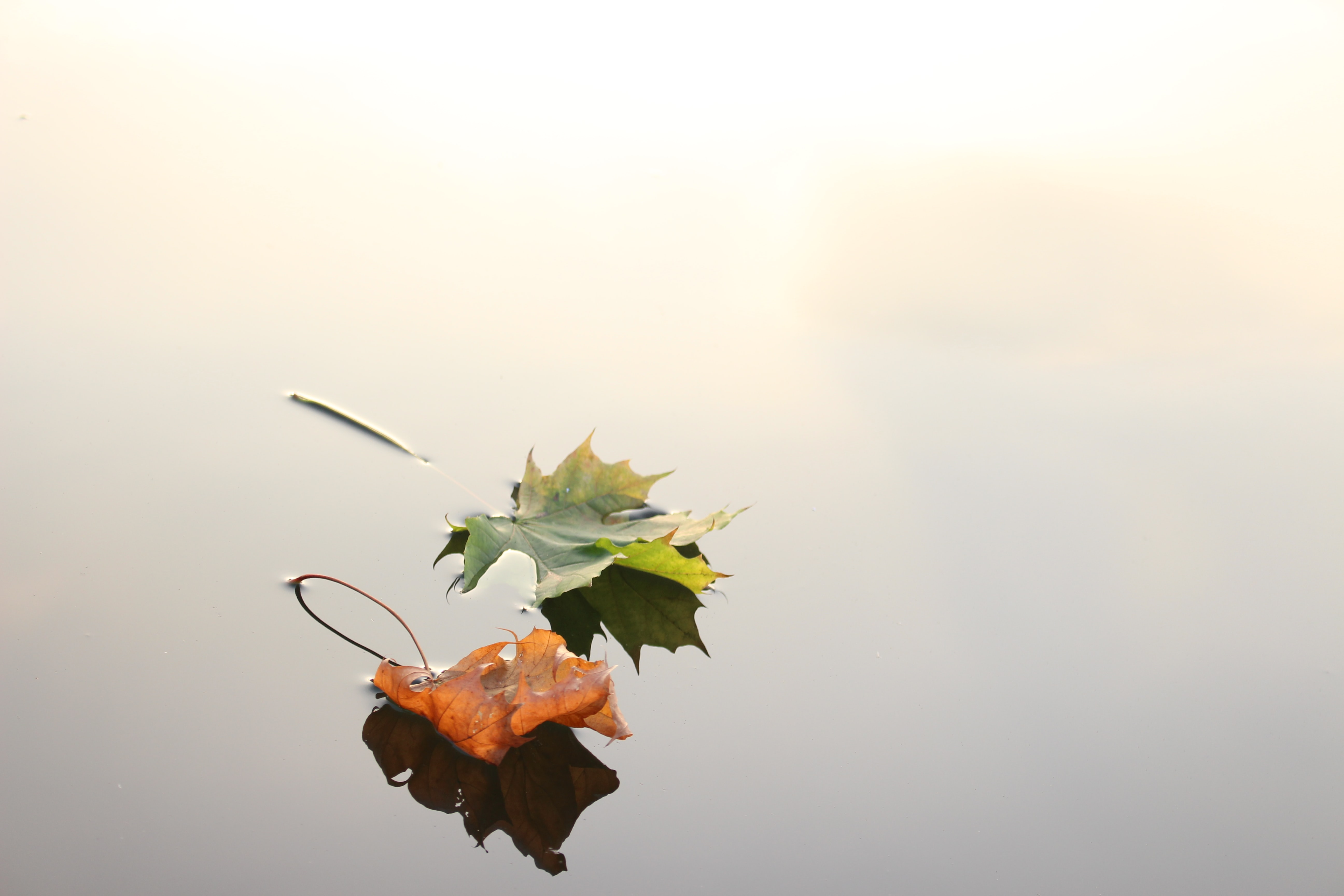 Green and orange maple leaves floating on the clear surface of water