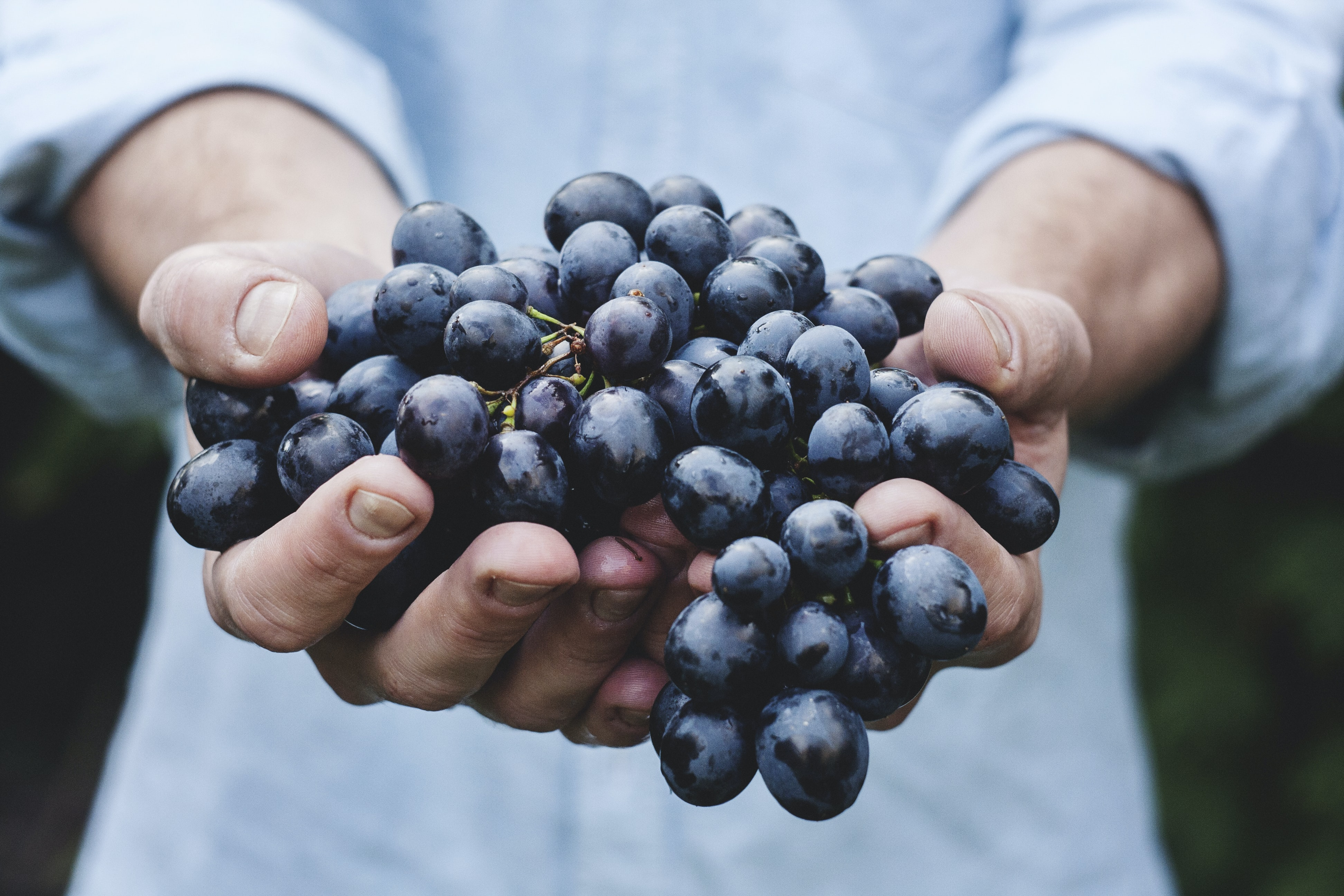 A person holding out a large bunch of black grapes