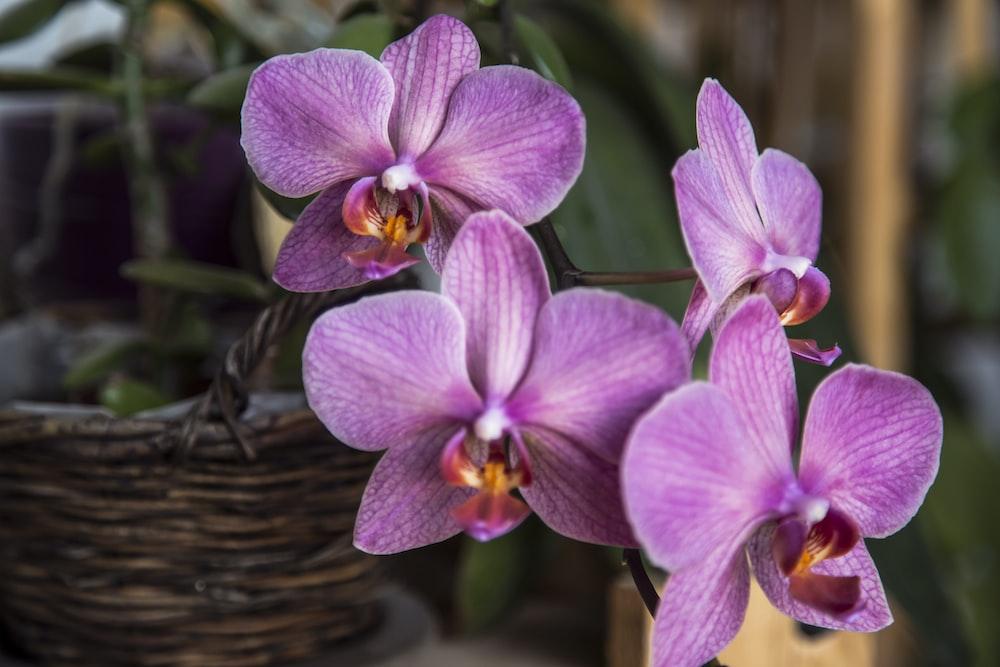 purple moth orchids in brown wicker basket