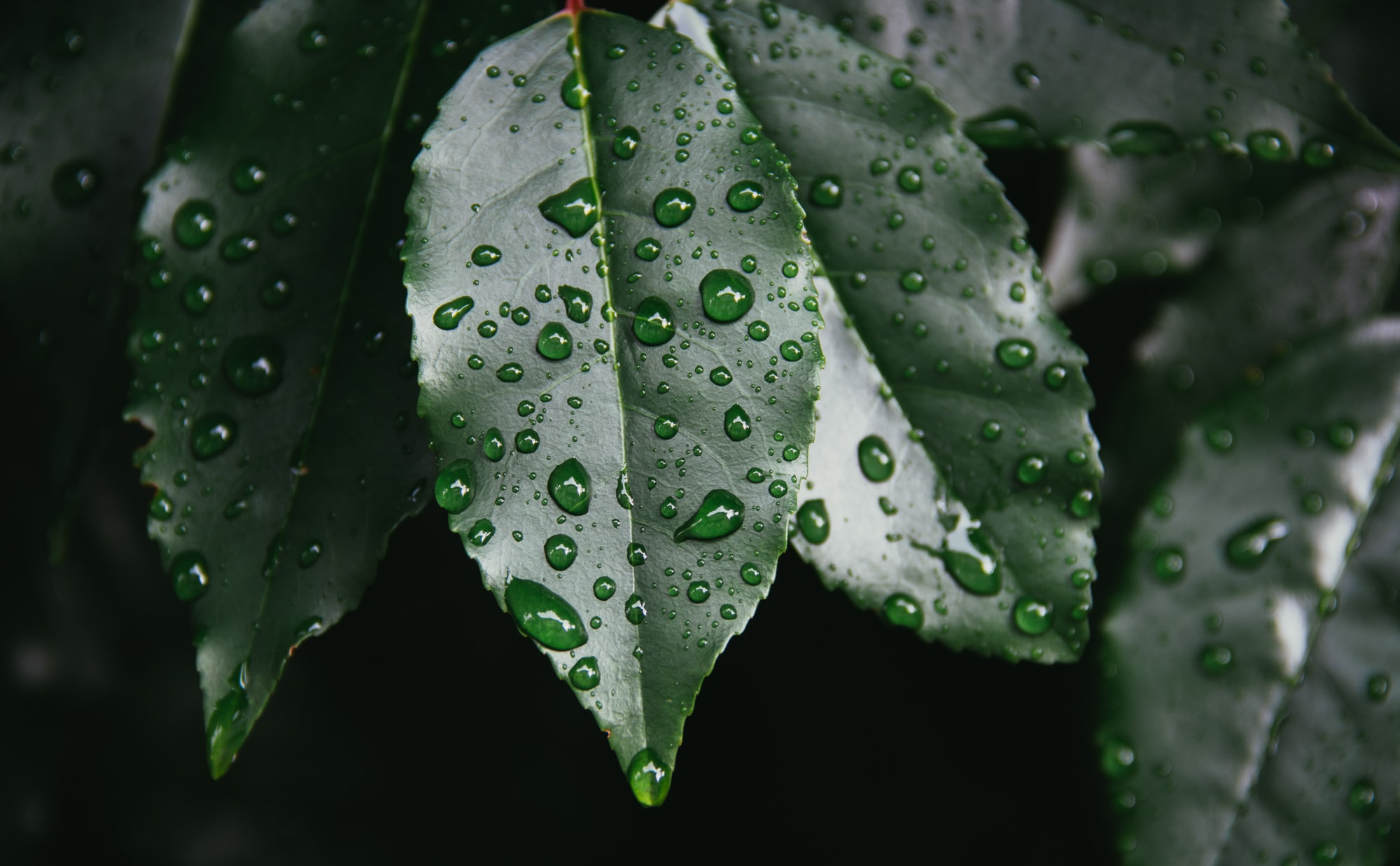 Droplets of water on glossy dark green leaves