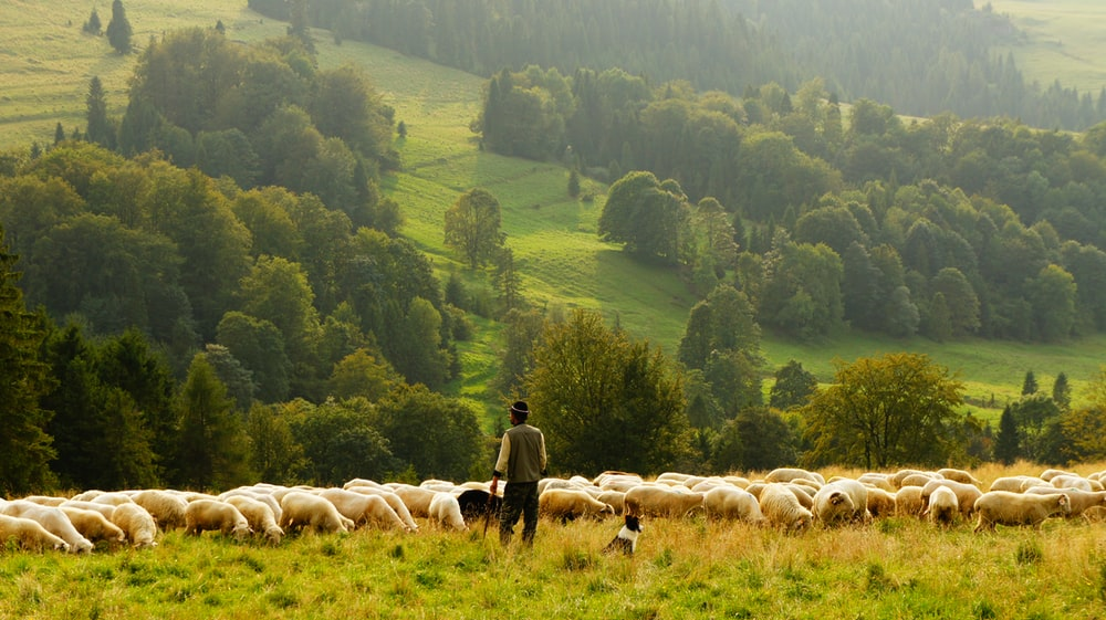 man standing in front of group of lamb
