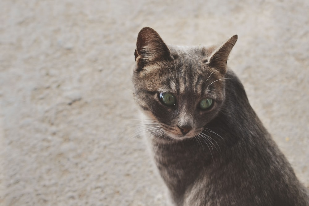 focused photo of a silver tabby cat