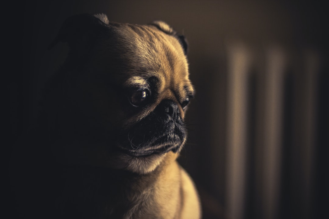 selective focus photography of fawn pug puppy