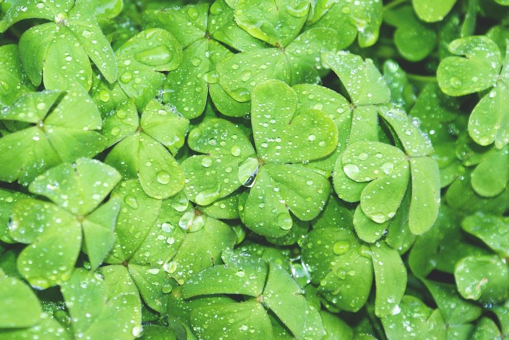 green club leaf with water drew