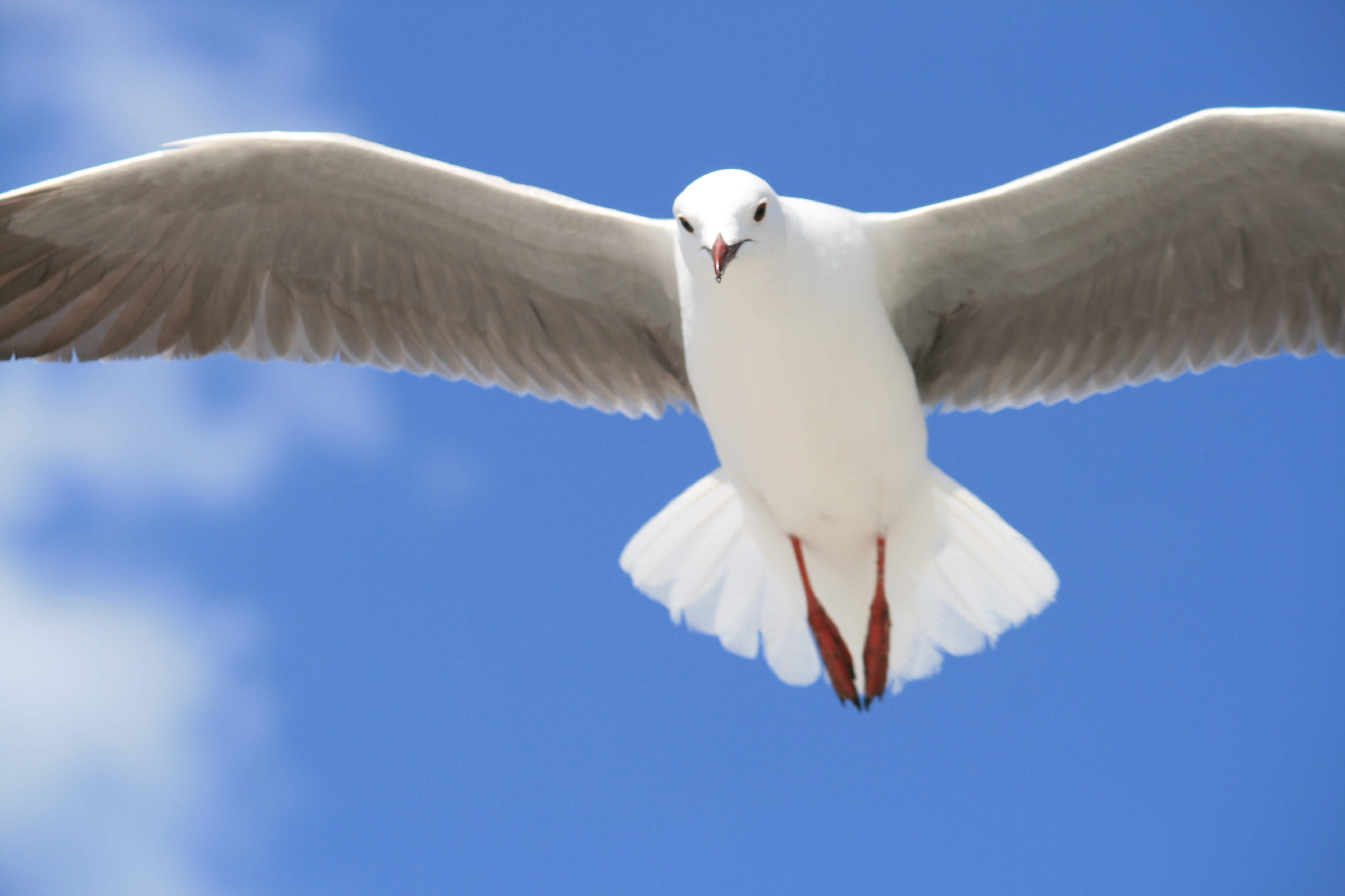 A majestic seagull in flight with its wings outstretched against the blue sky