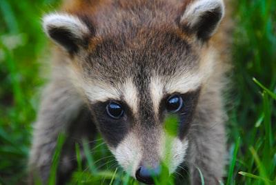 Nosy raccoon