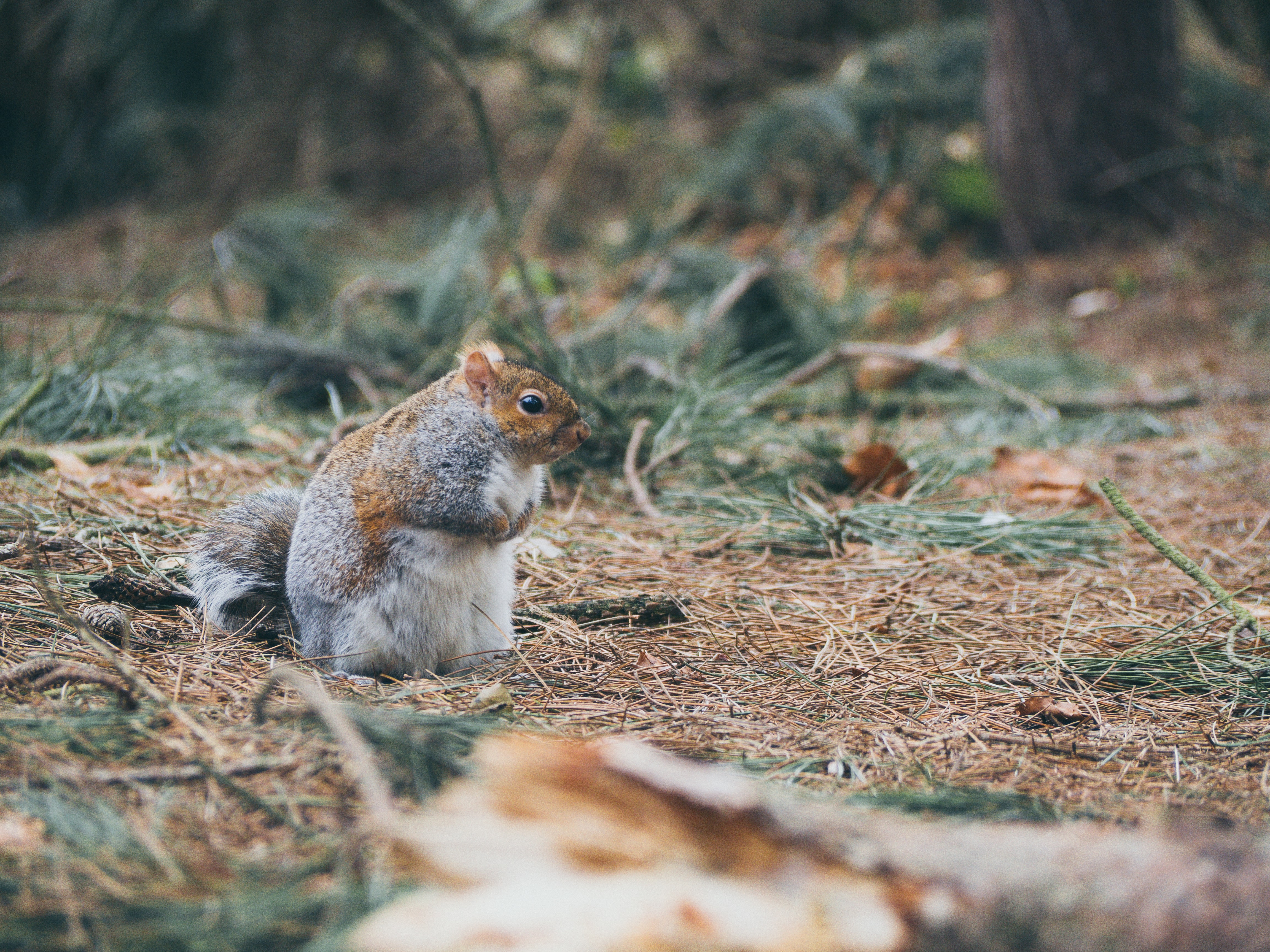 Squirrel holding its hands in a forest floor